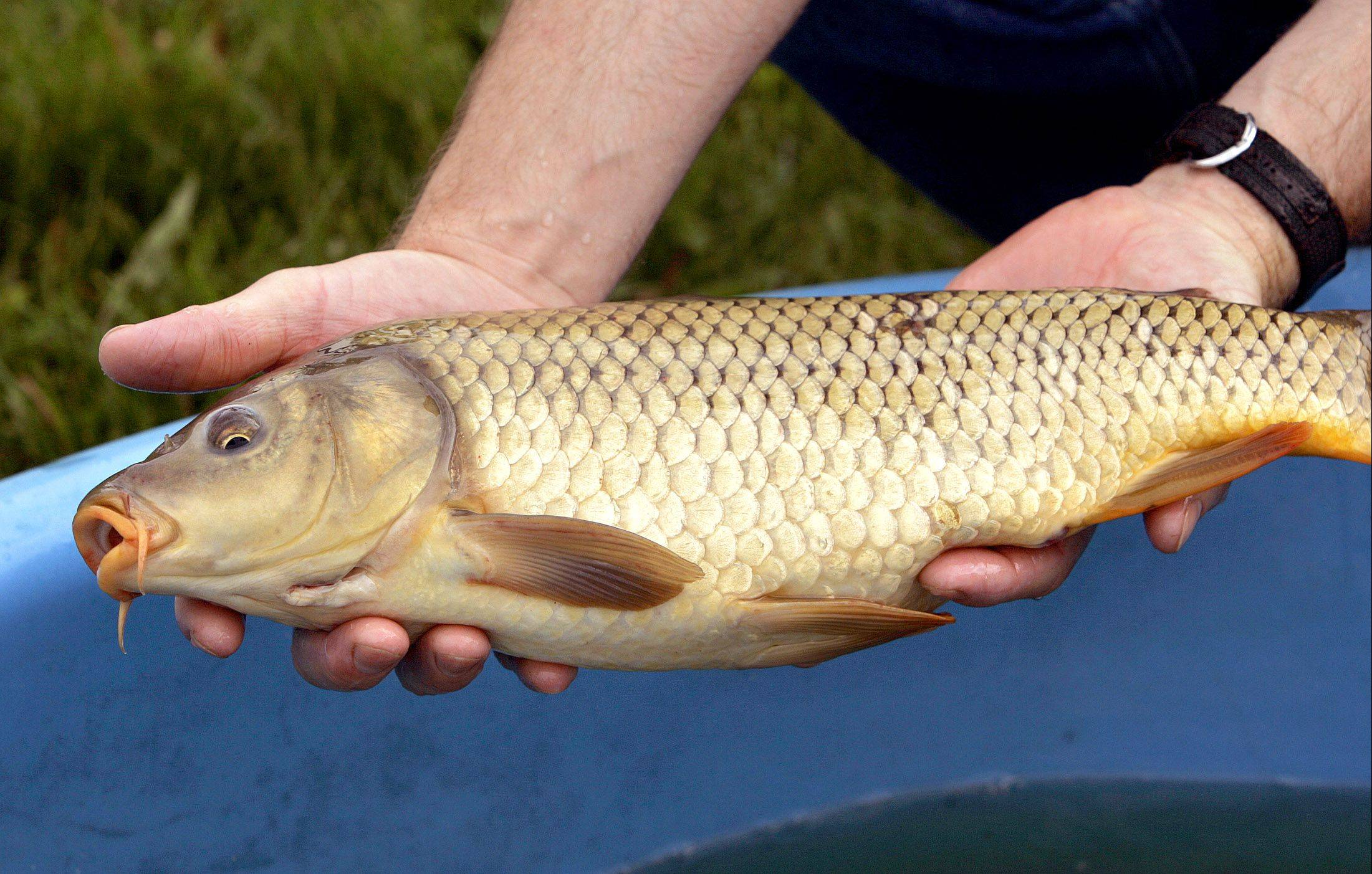 Opinions on carp are mostly a matter of perspective