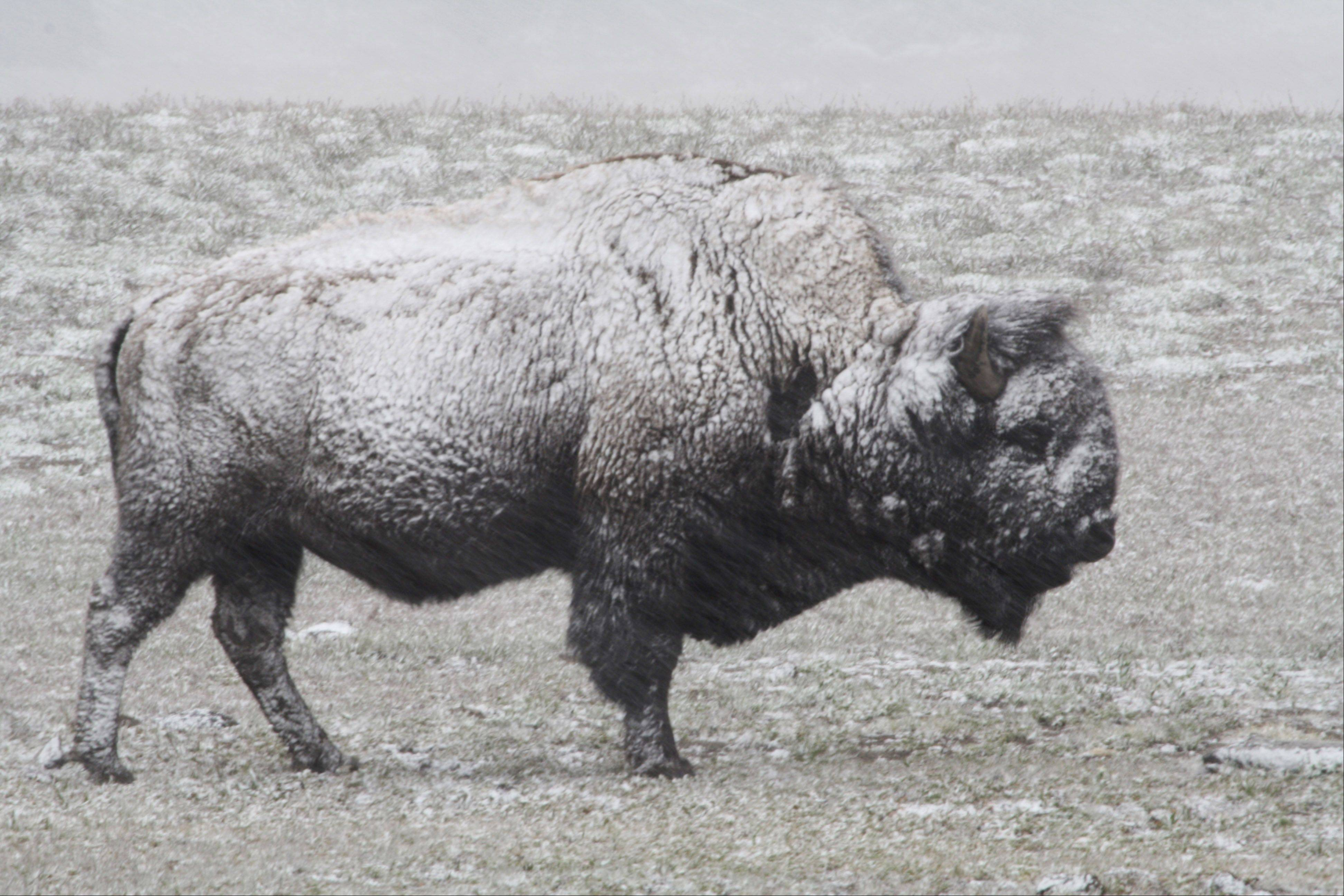 A bison braves a Spring snowstorm last week in Yellowstone National Park, Wyoming.