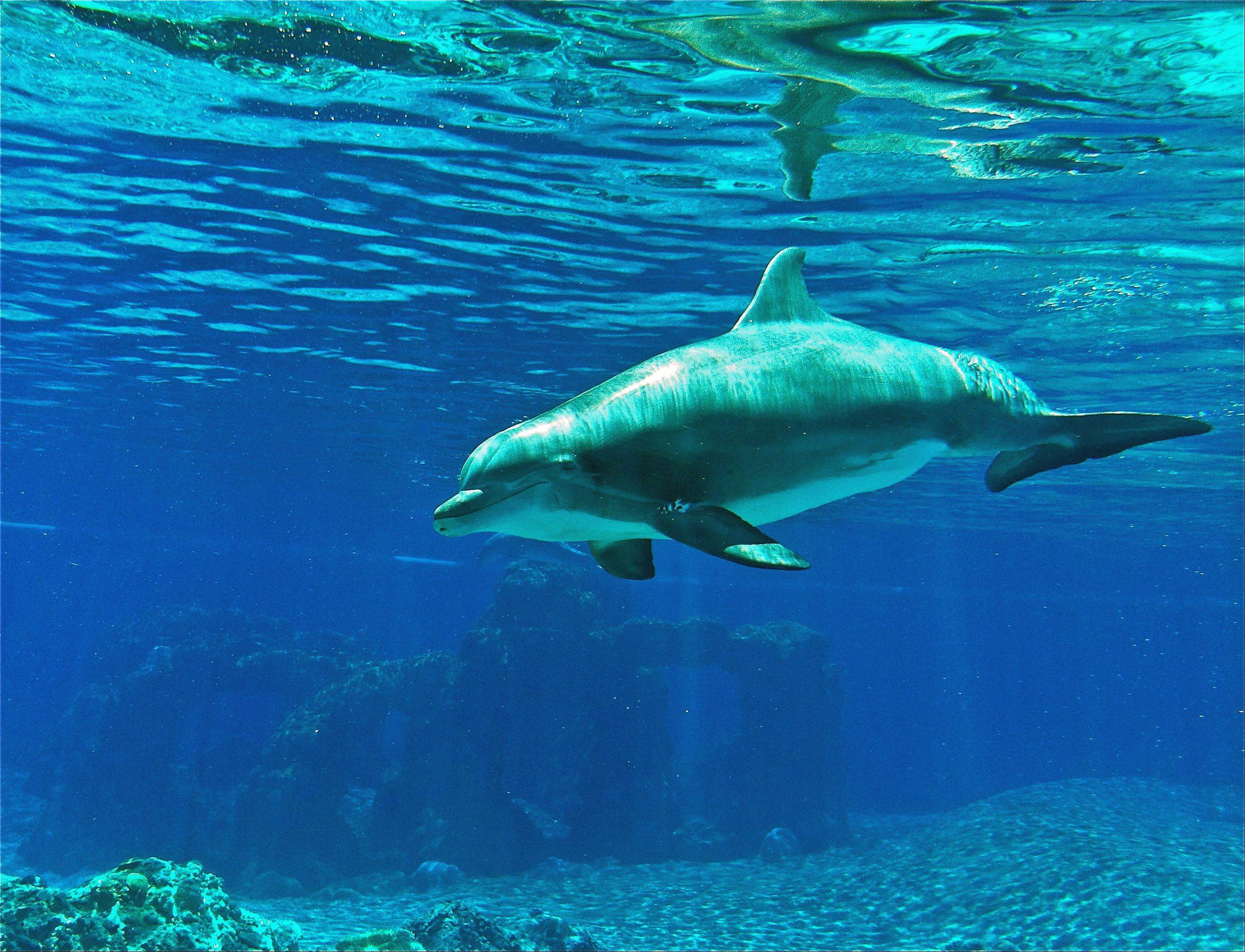 A dolphin swims underwater at the Siegfried & Roy Secret Garden & Dolphin Habitat at the Mirage Hotel in Las Vegas.