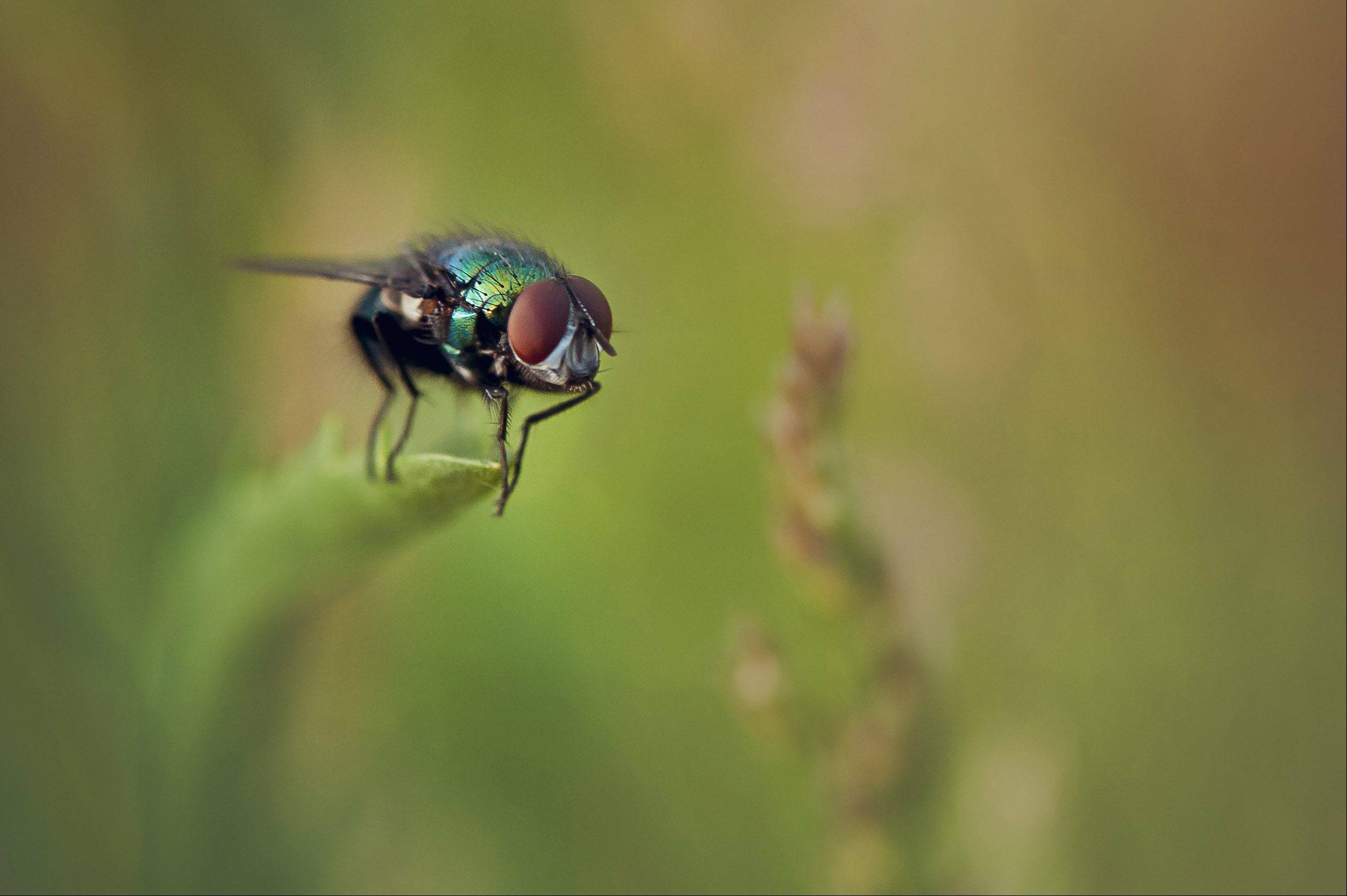 A fly prepares to take flight in a field on Wednesday May 30th in Deer Park.