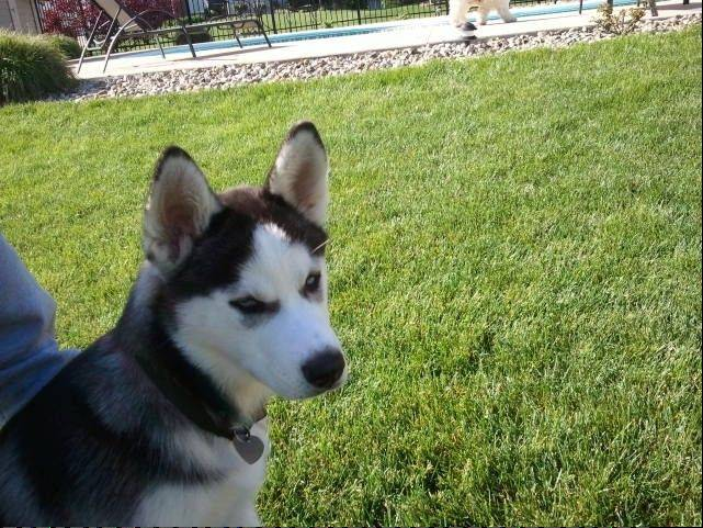 Mona, a Siberian husky puppy, was nearly euthanized because her owner couldn't afford much needed veterinary care. Instead, a campaign launched in Libertyville to raise money for her treatment has led to the creation of a foundation that will help Mona and other animals with special needs.