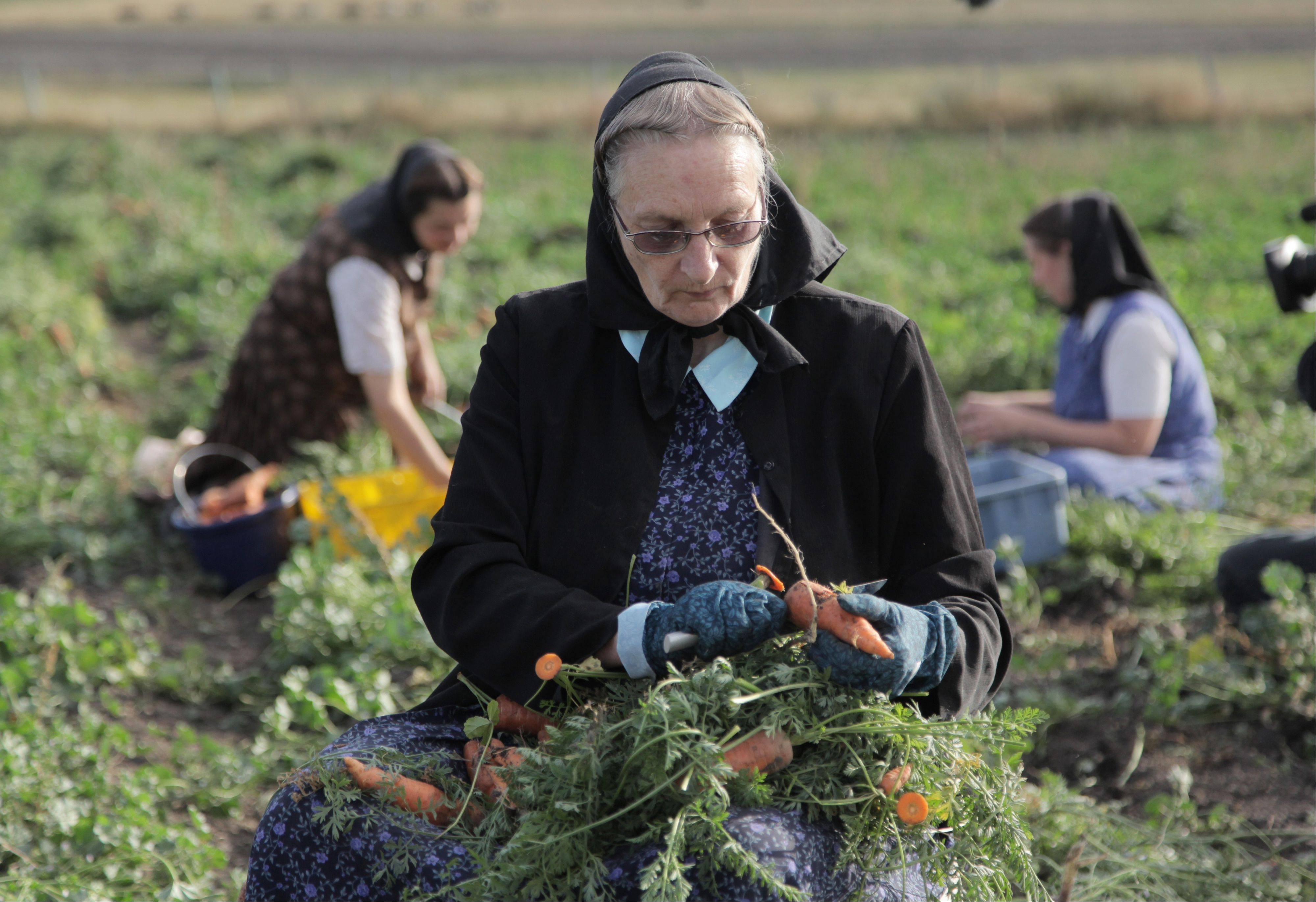 "Hutterite Judy Hofer picks carrots from the garden in King Colony, Mont., in ""Meet the Hutterites,"" a National Geographic documentary series about a small religious colony in rural Montana."