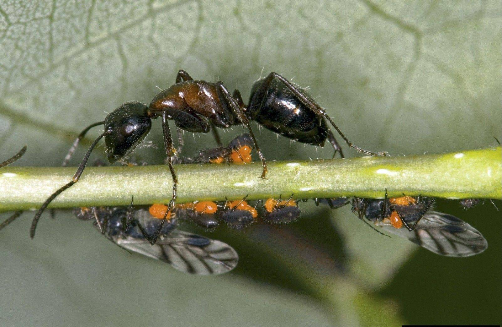 An ant tends aphids and their winged relatives. Ants feed on honeydew from certain plants including vegetables.