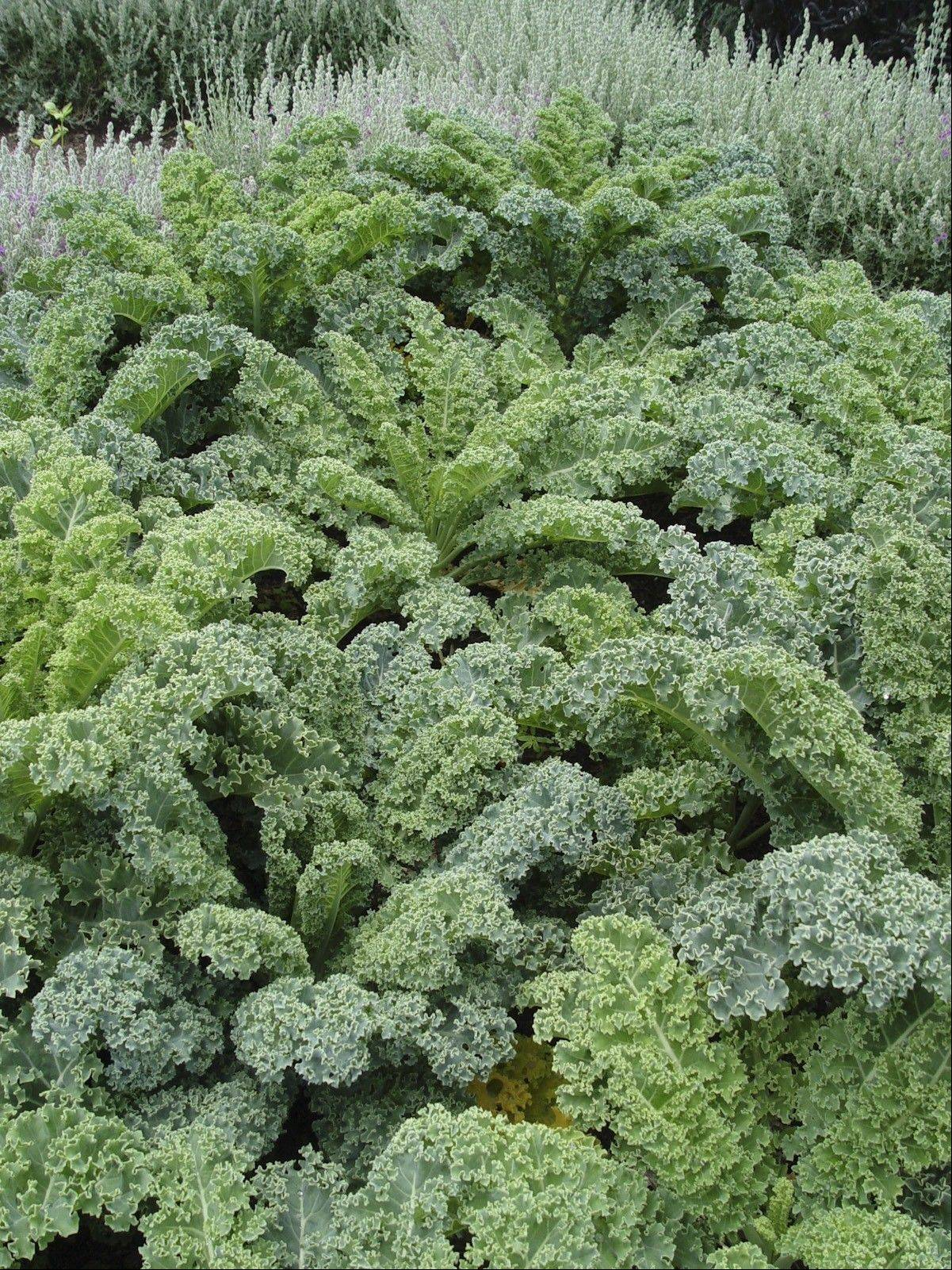 The curled leaves of kale often suffer woolly aphids in the hot months.