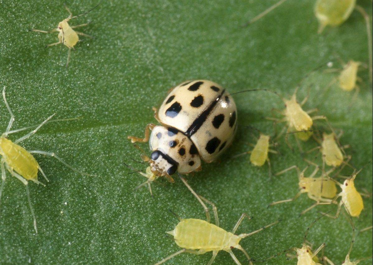 Releasing ladybugs to feed on aphids reduces their numbers naturally.