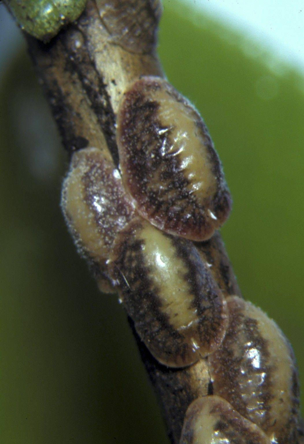 Hard-shell scale afflicts fruit trees, where ants farm them aggressively.