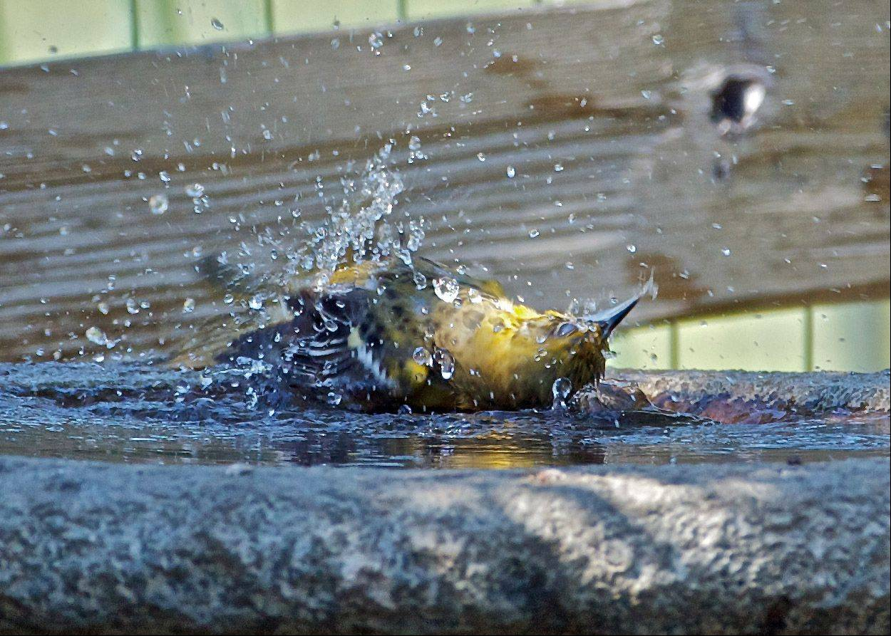 An Orchard Oriole swims the backstroke in an Ingleside backyard birdbath last week.