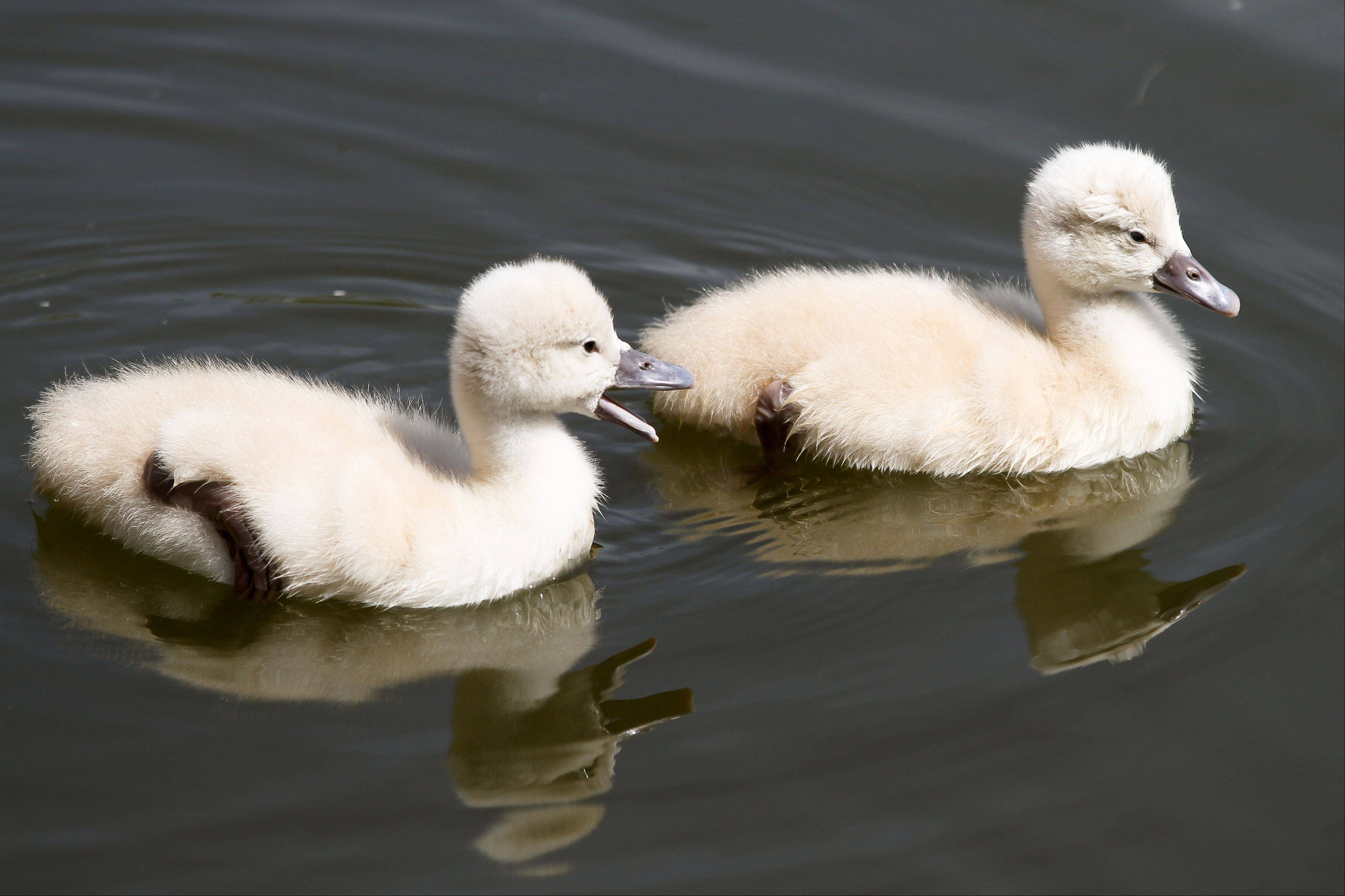 Two baby swans, less than a week old, swim in a Glenview pond in May. Baby swans are called cygnets.