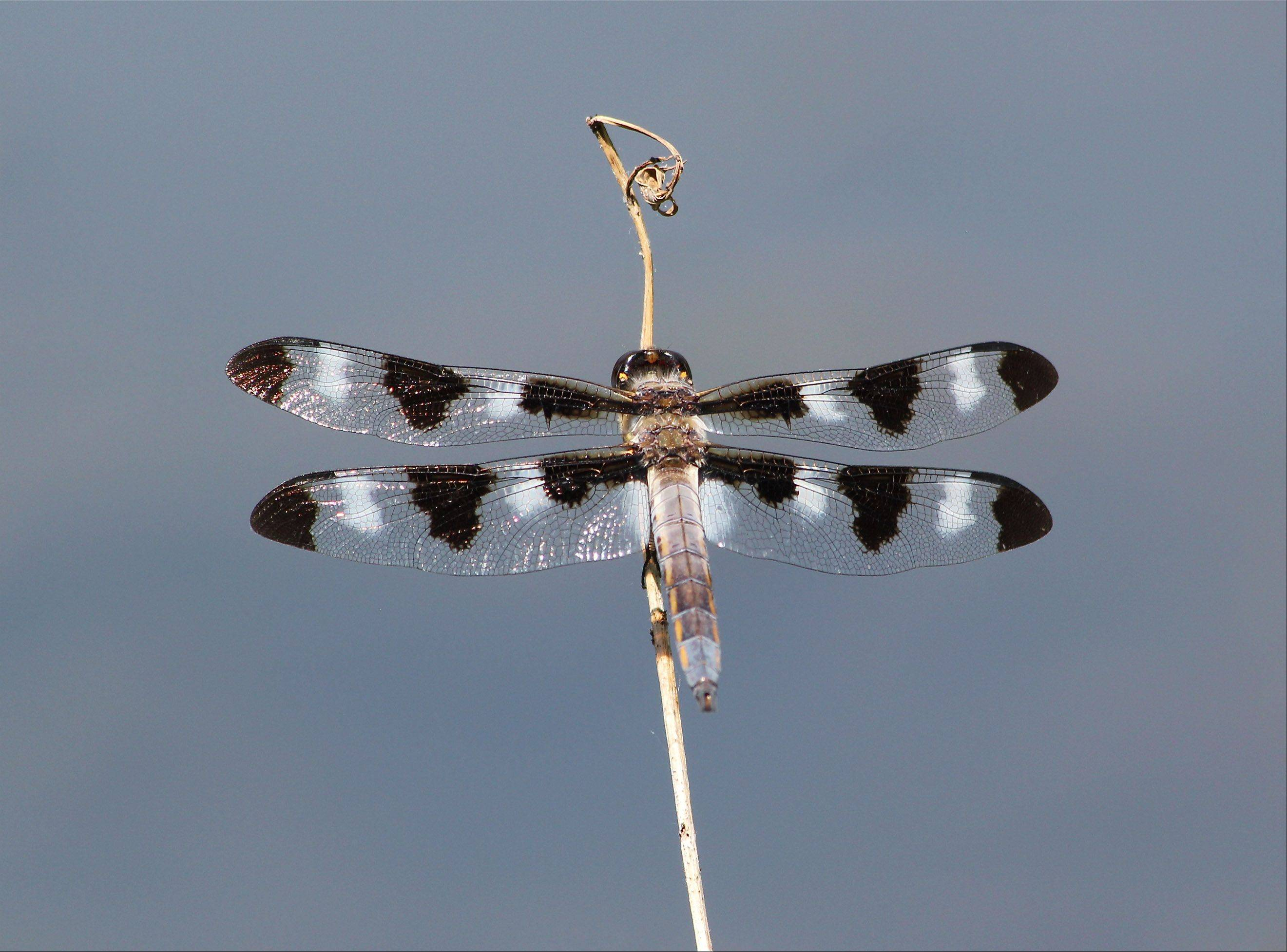 I took a photo of this dragonfly, a Libellula Pulchella Twelve-Spotted Skimmer, at the Morton Arboretum recently. I was visiting the Arboretum with my son's Monroe Middle School's six grade class for a field trip to study streams and the organisms that inhabit them.