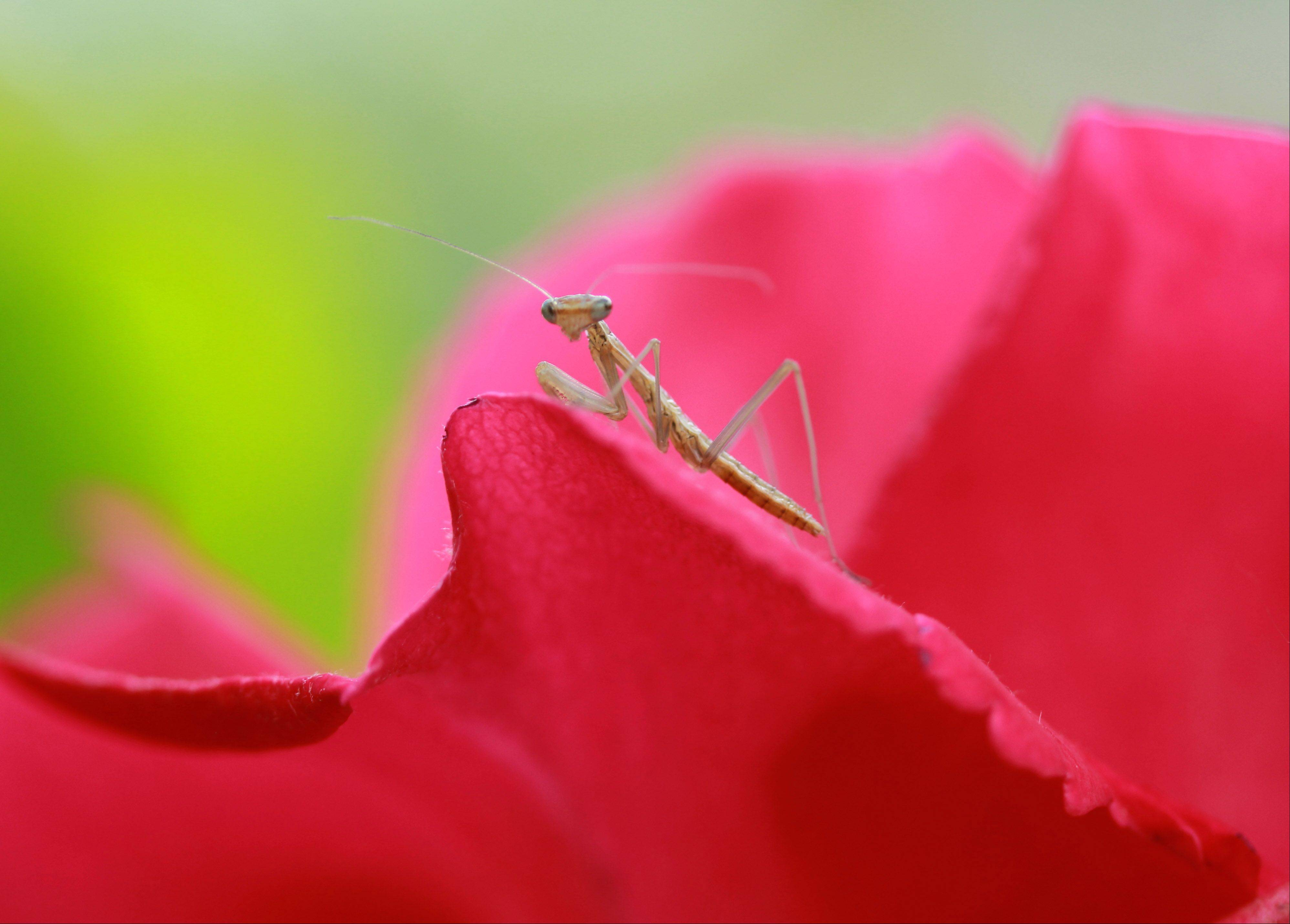 A praying mantis on a rose petal in Wildwood garden. This praying mantis, along with about 100 others, hatchedfrom a single pod.
