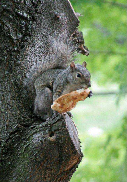 I captured this squirrel in Chicago while walking with my grandkids. They were intrigued by the large snack it was enjoying.