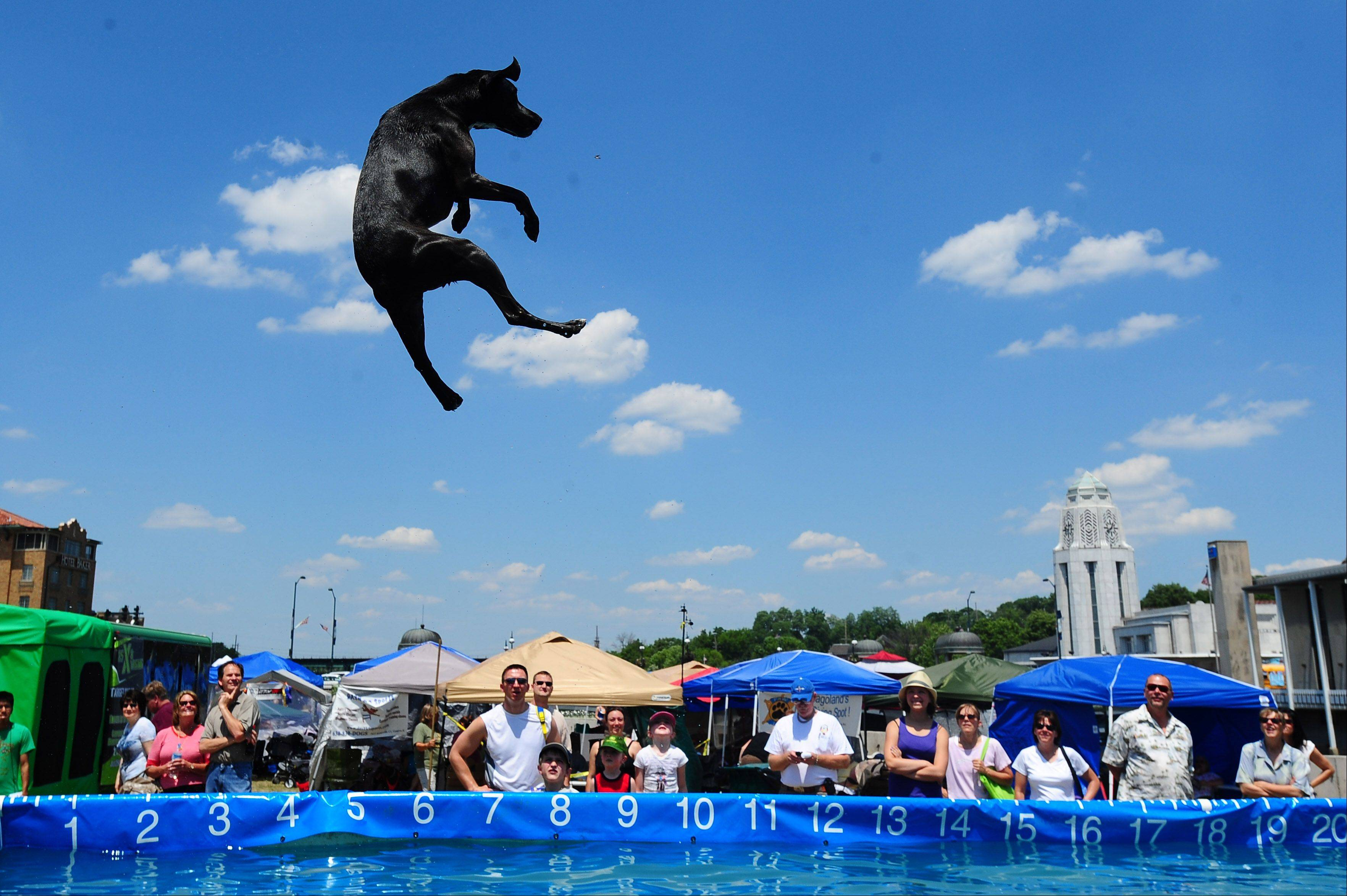 Guinness leaps off a dock after his dog toy in front of spectators during the Pride of the Fox's 30th annual RiverFest on Sunday.