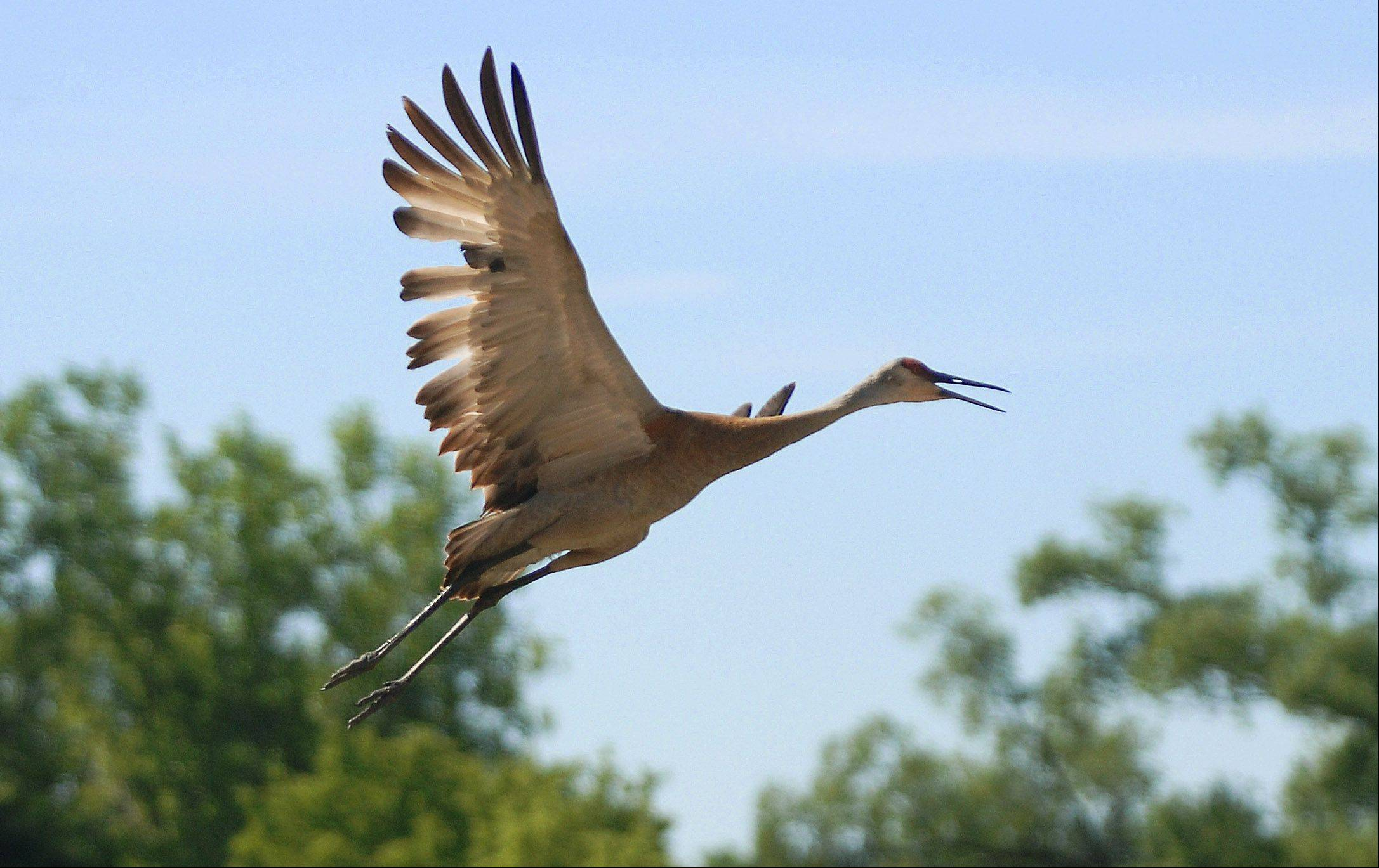 A sandhill crane takes flight to keep up with it's mate north of the Marl Flat Forest Preserve near Volo Tuesday morning. The cranes are one of the largest birds nesting in Lake County.
