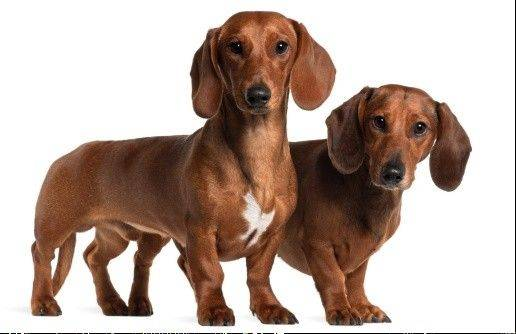 "All varieties of ""wiener dogs,"" including dachshunds, basset hounds, corgis and ""wiener shape"" mixes, are invited to race at the Fifth Annual Dachshund Derby on Sunday, June 24, at Petland, 815 Rollins Road, Round Lake Beach."