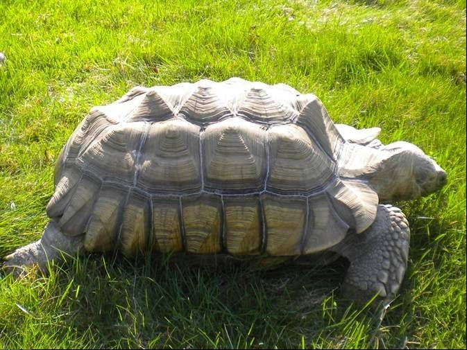 Lance, an African spurred tortoise, has been missing from Lombard since Sunday. His owners, Susan and Andy Lechner, think someone may have taken Lance after he likely wandered to an apartment complex behind their home.