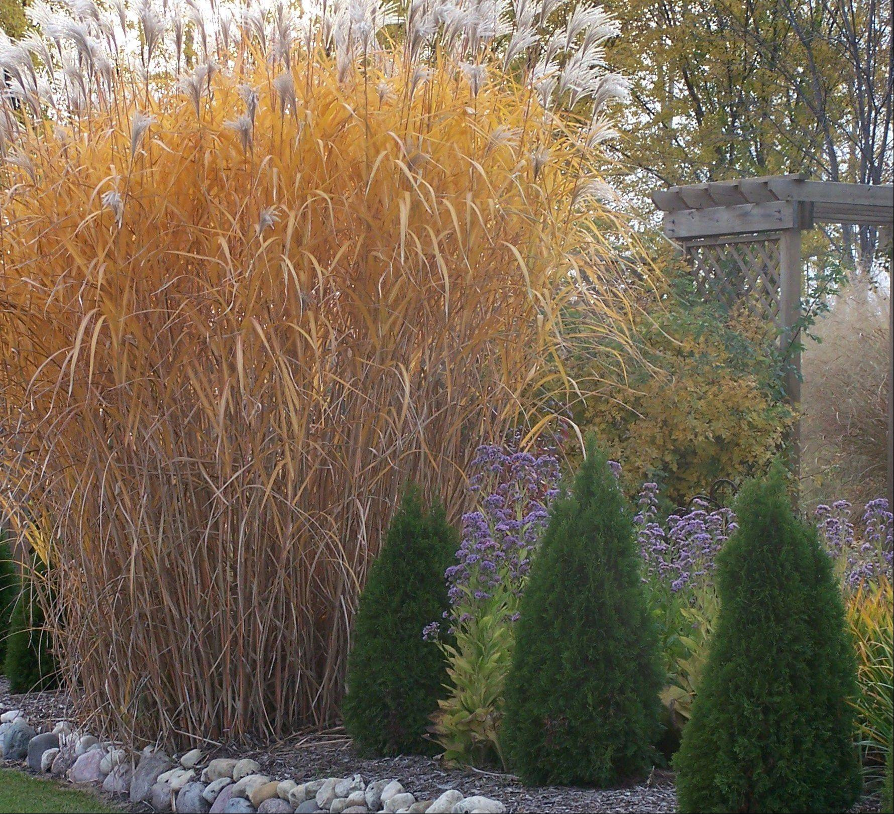 Miscanthus floridulus showing fall color
