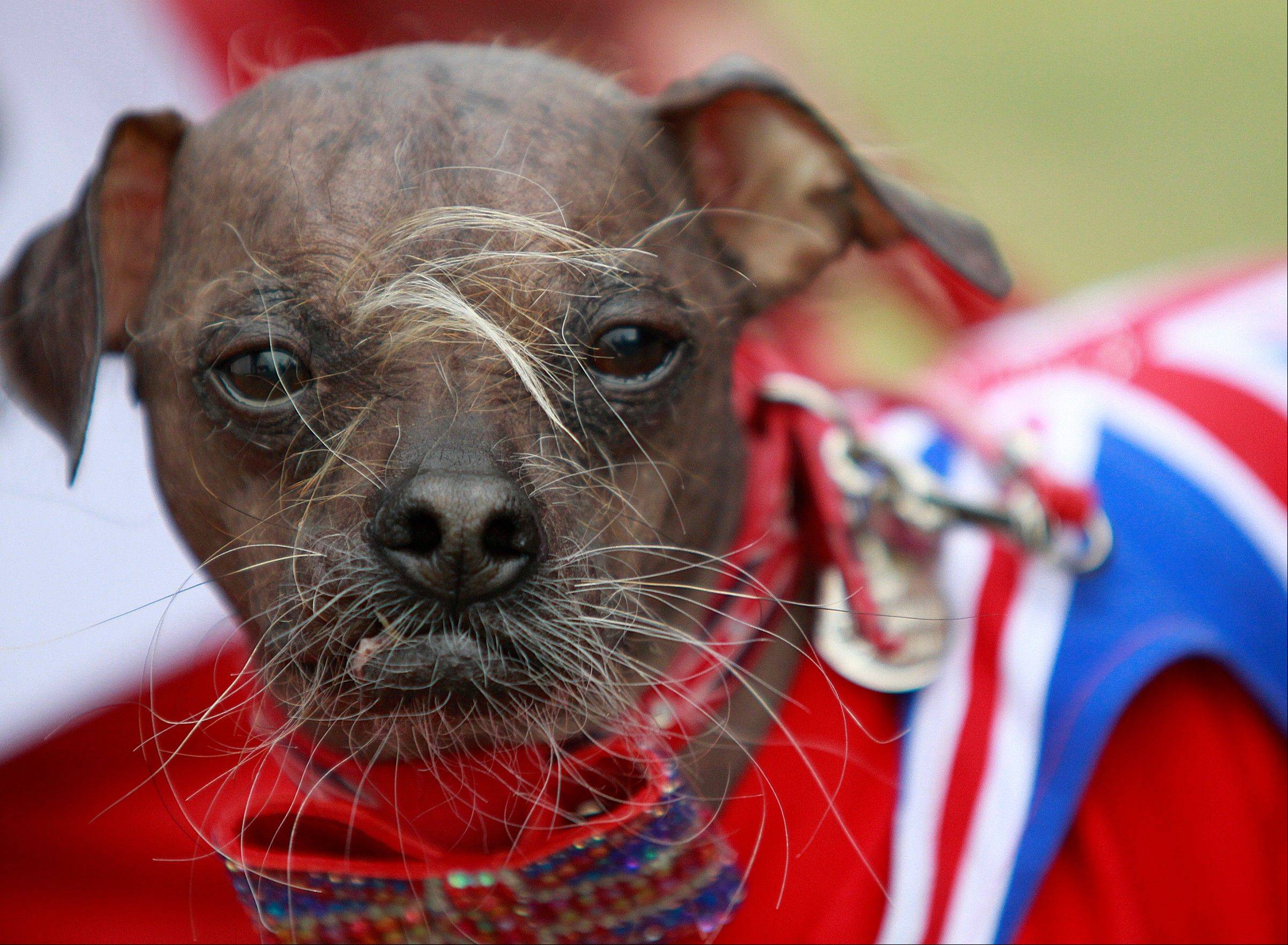 "Mugly, a Chinese crested dog owned by Bev Nicholson of Peterborough, England, won the title of ""World's Ugliest Dog"" Friday at the Sonoma-Marin Fair in Petaluma, Calif."
