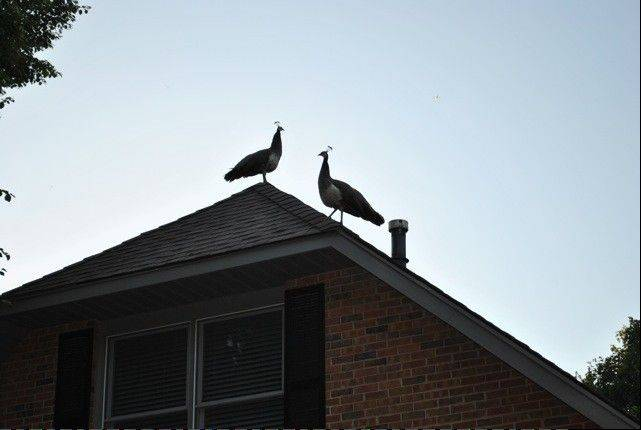 Two peahens were spotted on the roof of Marsha Caccamo's home in Rolling Meadows Thursday night. Rolling Meadows police said they've received some calls, but no one has reported them missing.