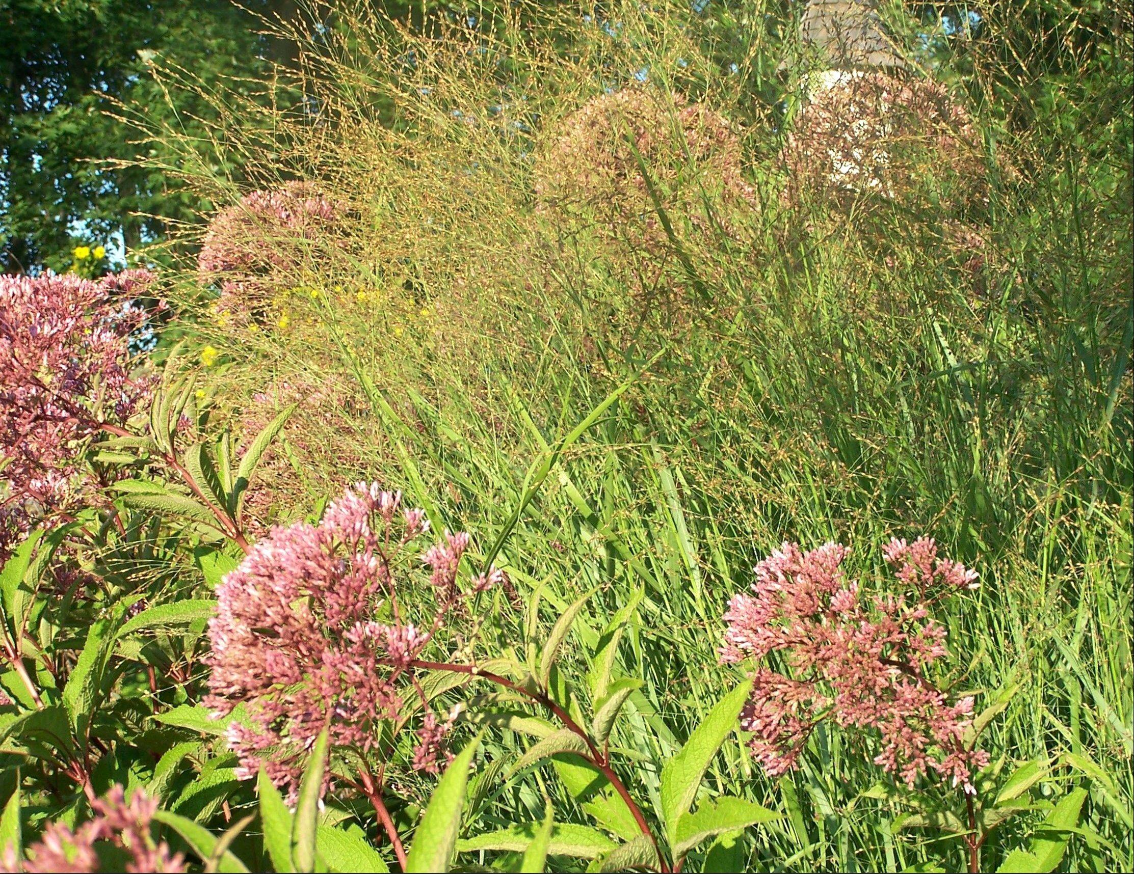 The seed heads of Panicum mingle beautifully with the flower of Joe Pye weed