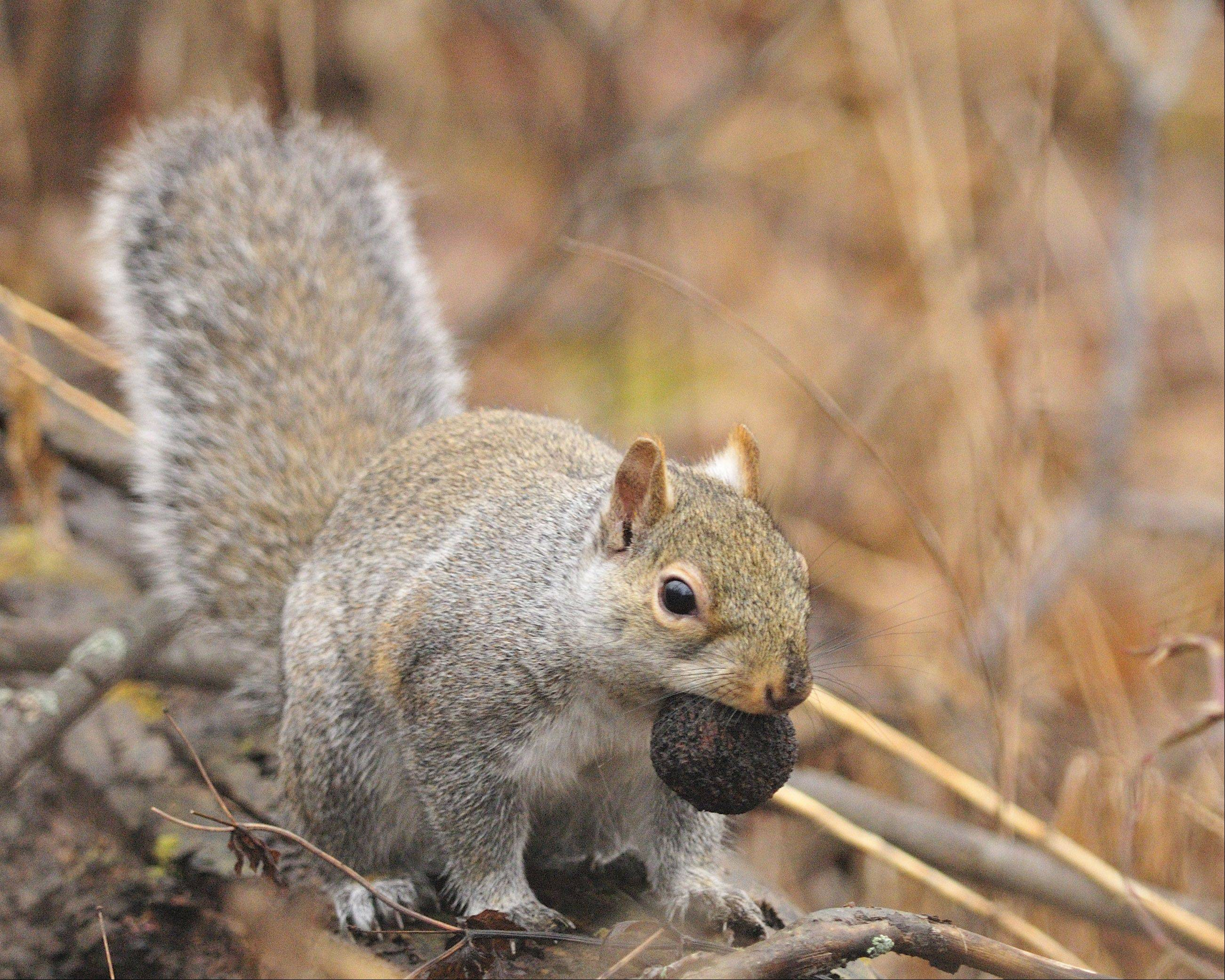 A squirrel with a nut walks through the woods last fall in Western Illinois.