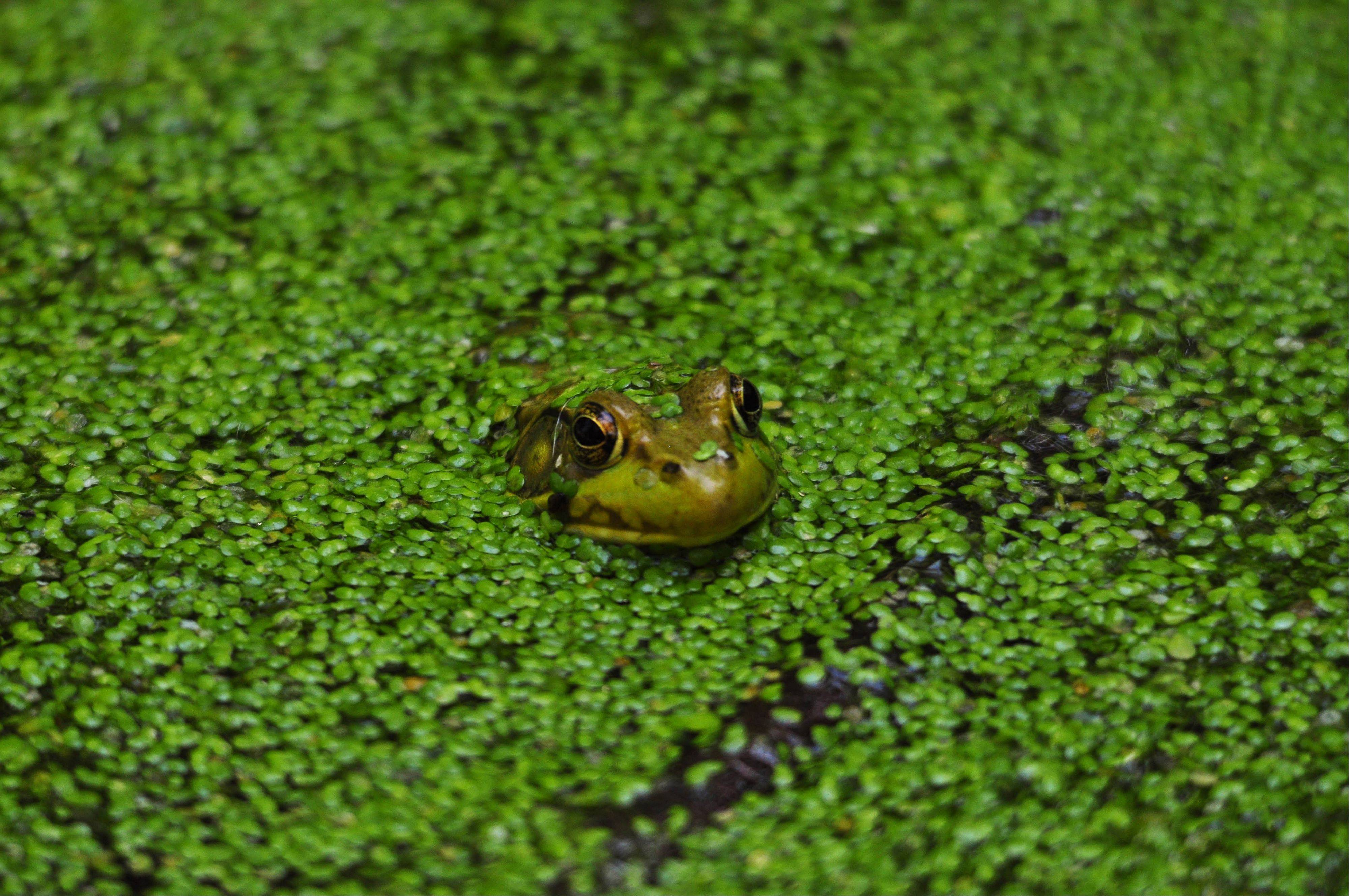 A frog peeks out from the vegetation on a pond at Crabtree Preserves in Barrington.