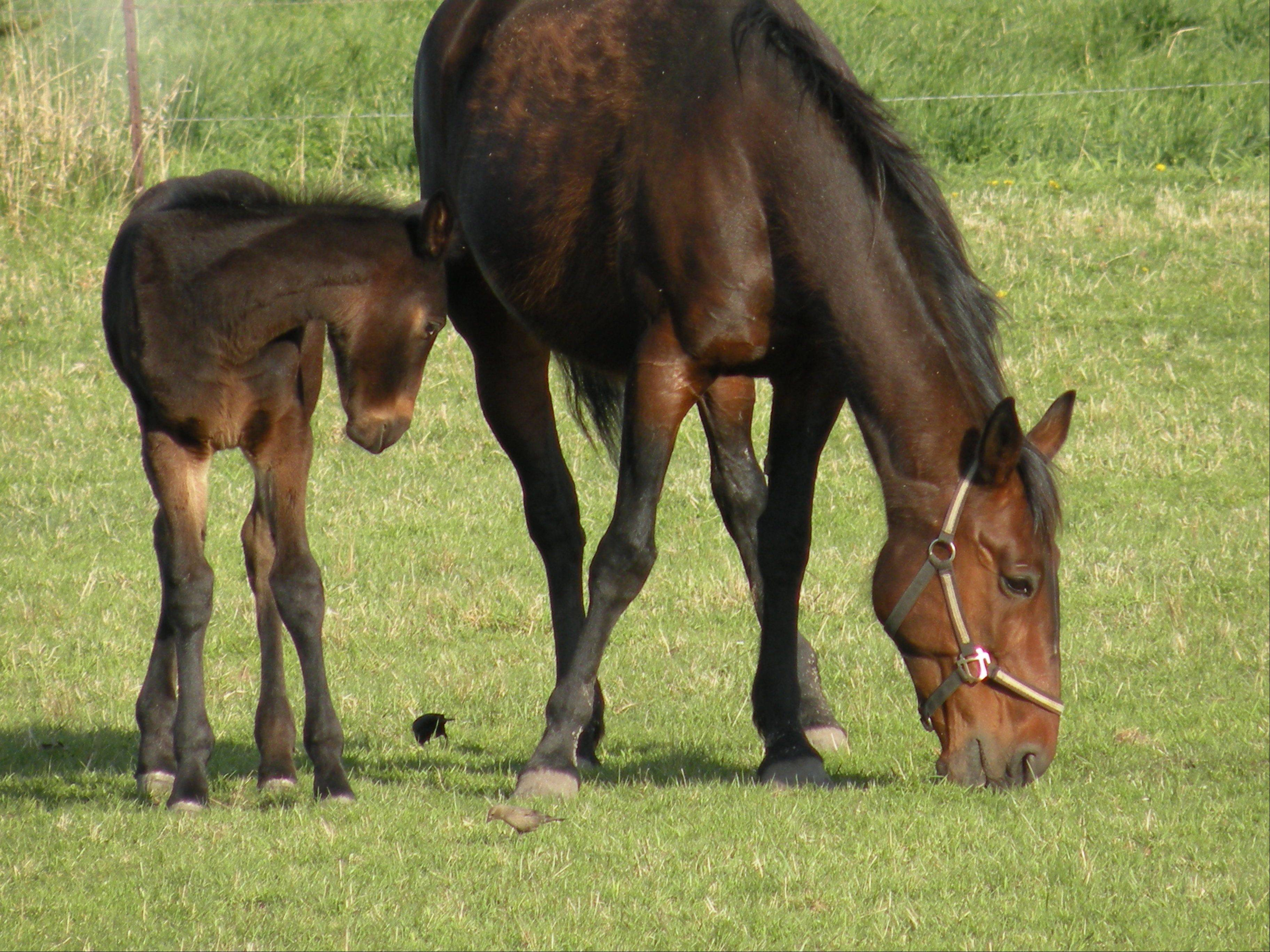 A foal nuzzles its mother at a farm in Alden last April.