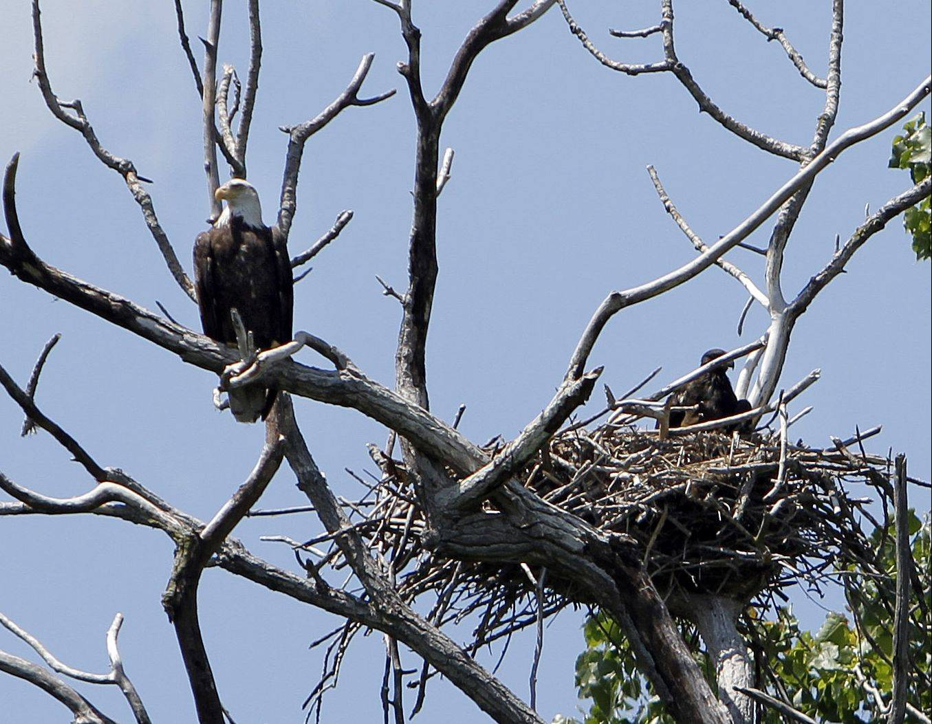 A bald eagle keeps watch over one of its offspring in a nest along the Fox River in southwestern Lake County. While it is not unheard of to see a bald eagle on the wing, nesting pairs like the one discovered this spring are rare in the area.