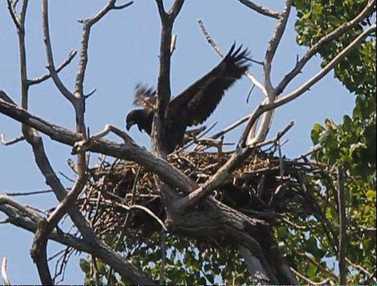 An eaglet spreads its wings in a nest along the Fox River in southwestern Lake County.