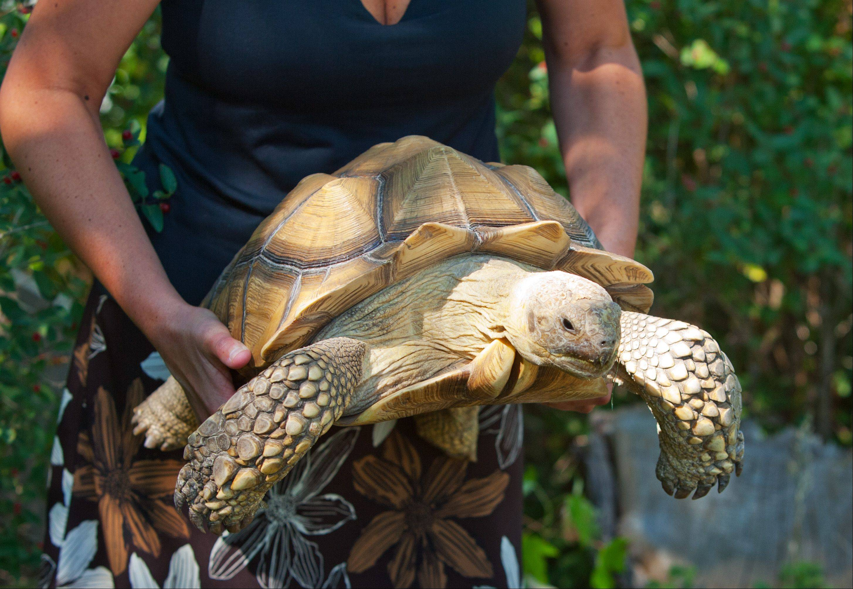 Susan Lechner of Lombard holds Lance, the family's African Spurred Tortoise, who recently escaped and is now back in an improved reinforced backyard habitat.