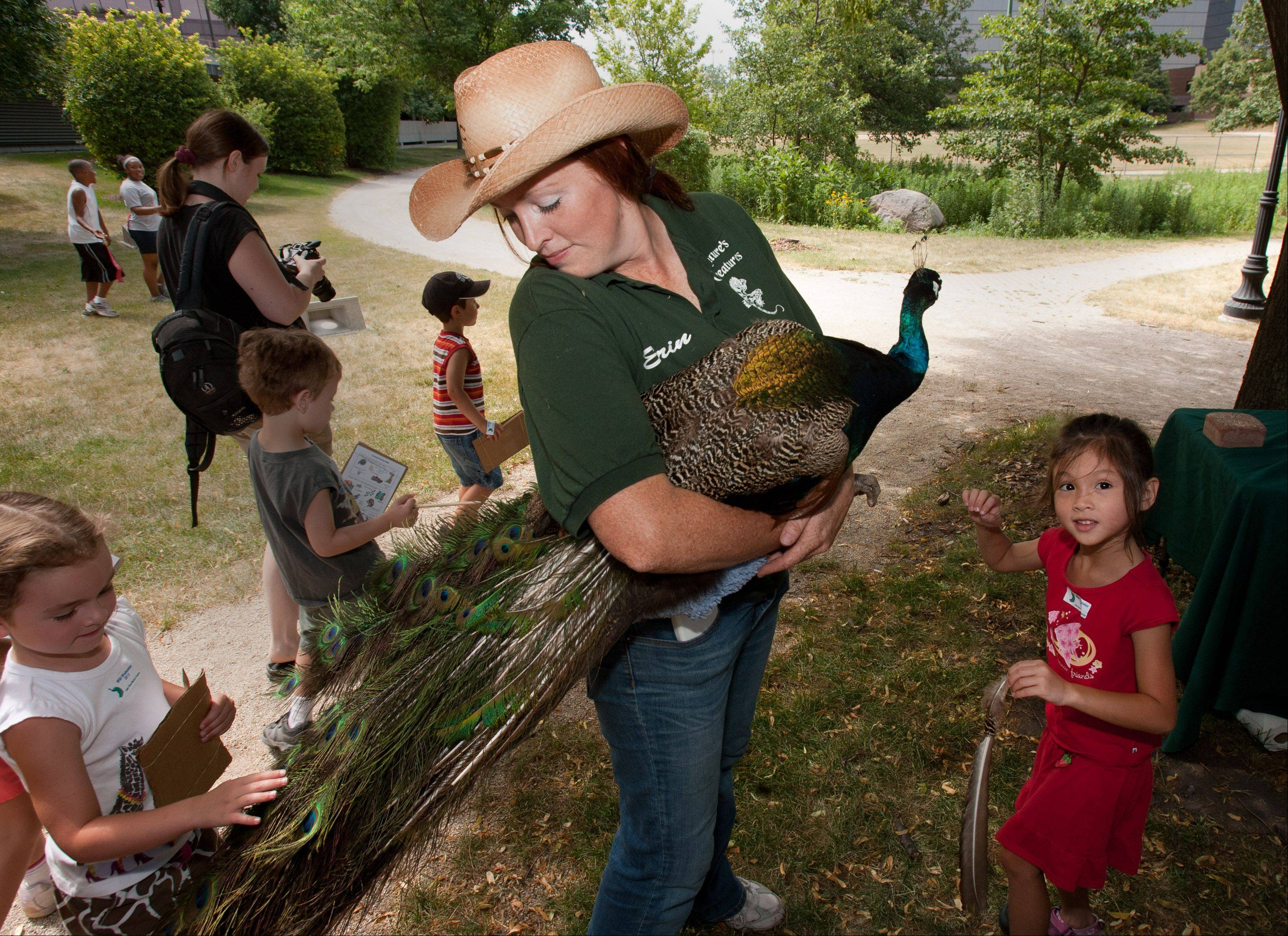 Erin Yanz of Nature's Creatures Animal Show in Monee shows a peacock from India during a Wild Wednesdays program at Lake View Nature Center in Oakbrook Terrace. Kalyn Gunn, right, 5, of Elmhurst, said she liked touching the feathers.