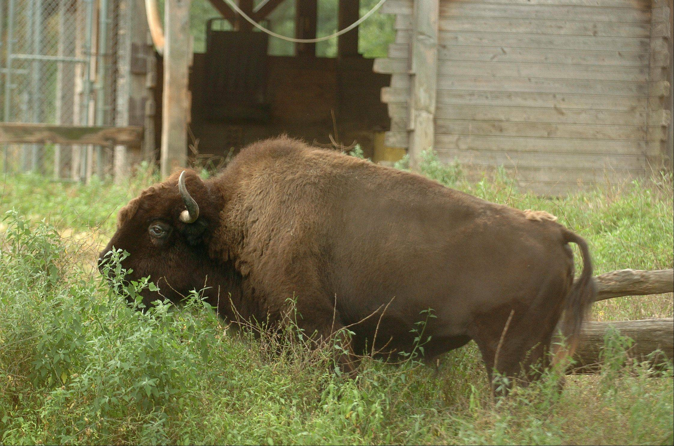 Sign up now to assist the Lords Park zookeeper in feeding the bison, deer and elk at Elgin's Lords Park Zoo on Saturday, June 30.