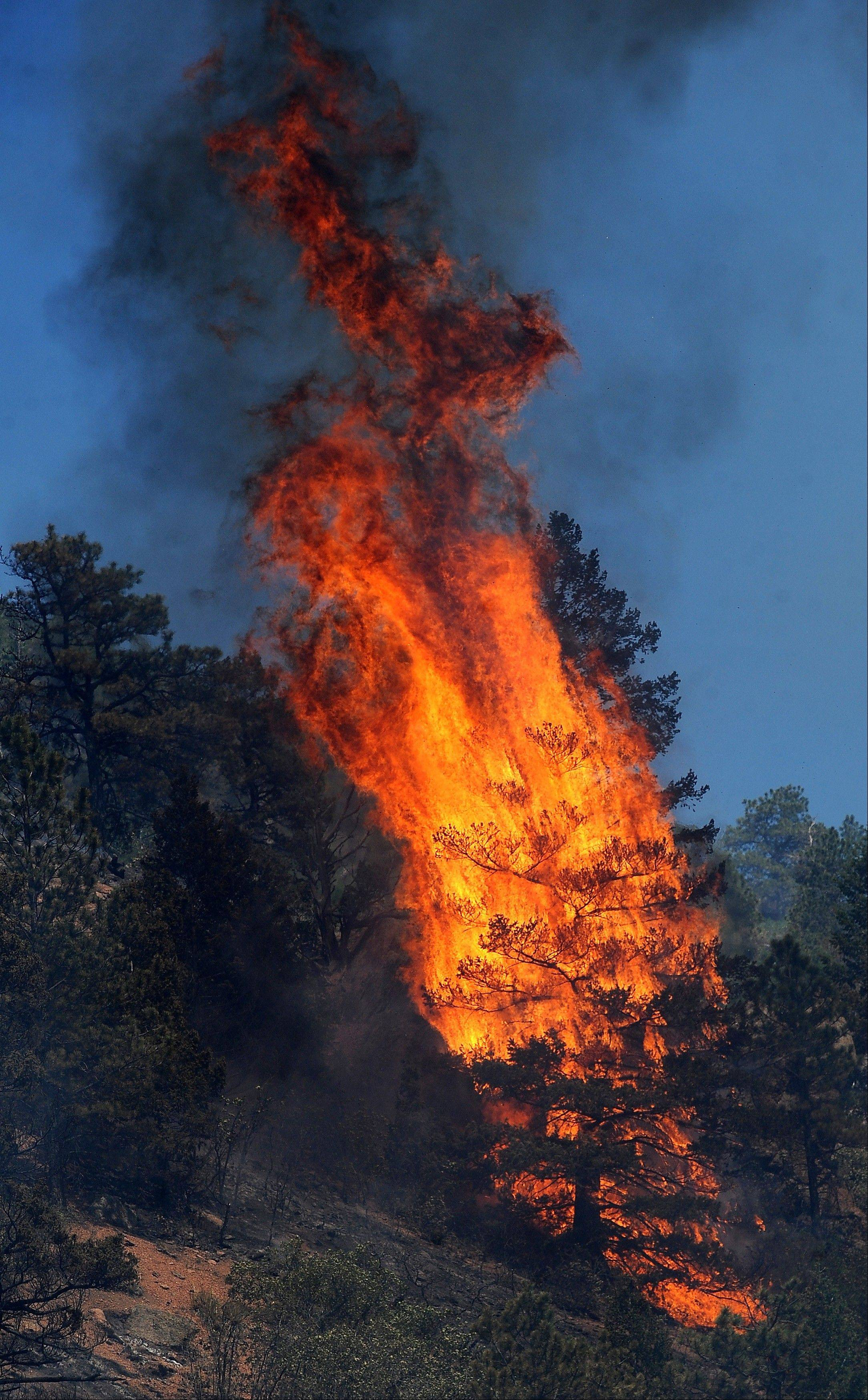 Flames consume a tree along the north side of U.S. Highway 24 near the Waldo Canyon Trailhead between Cascade, Colo., and Manitou Springs, Colo., Tuesday, June 26, 2012. Colorado has endured nearly a week of 100-plus-degree days and low humidity, sapping moisture from timber and grass, creating a devastating formula for volatile wildfires across the state and punishing conditions for firefighters.