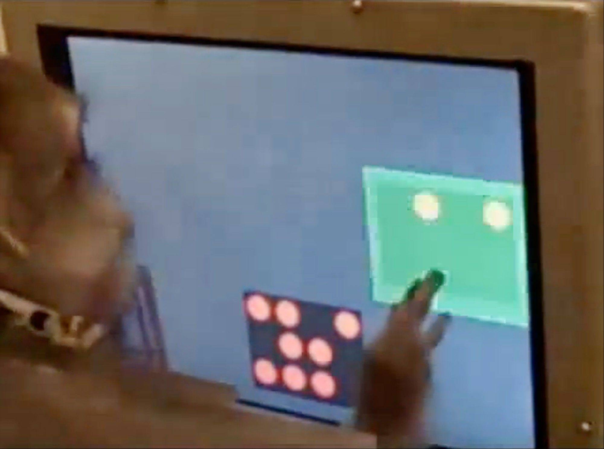 "In this undated image made from video provided by Duke University's Department of Psychology And Neuroscience, a Rhesus monkey solves addition and subtraction problems on a touch-screen computer as part of a study titled ""Basic Math in Monkeys and College Students"" by Jessica F. Cantlon and Elizabeth M. Brannon."