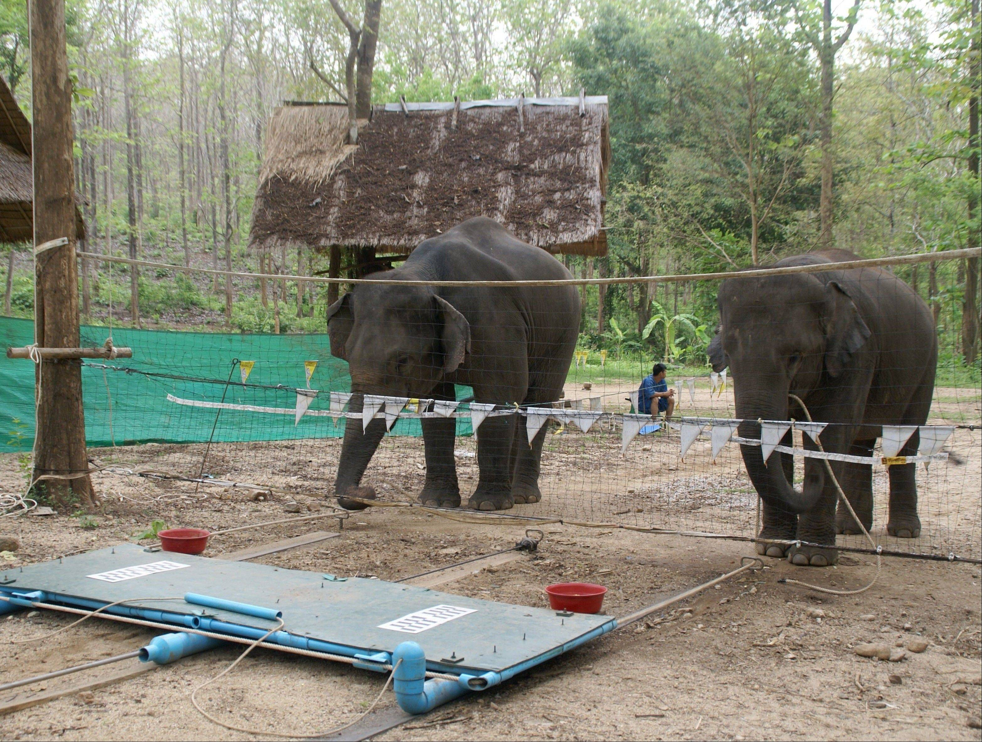 In this 2009 picture provided by Think Elephants International, two elephants pull a platform with a food reward, designed only to work with the cooperation of two animals, at the Thai Elephant Conservation Center in Lampang, Thailand. Animal researchers in recent years are finding that thought processes in animals aren't a matter of how closely related they are to humans. You don't have to be a primate to be smart.