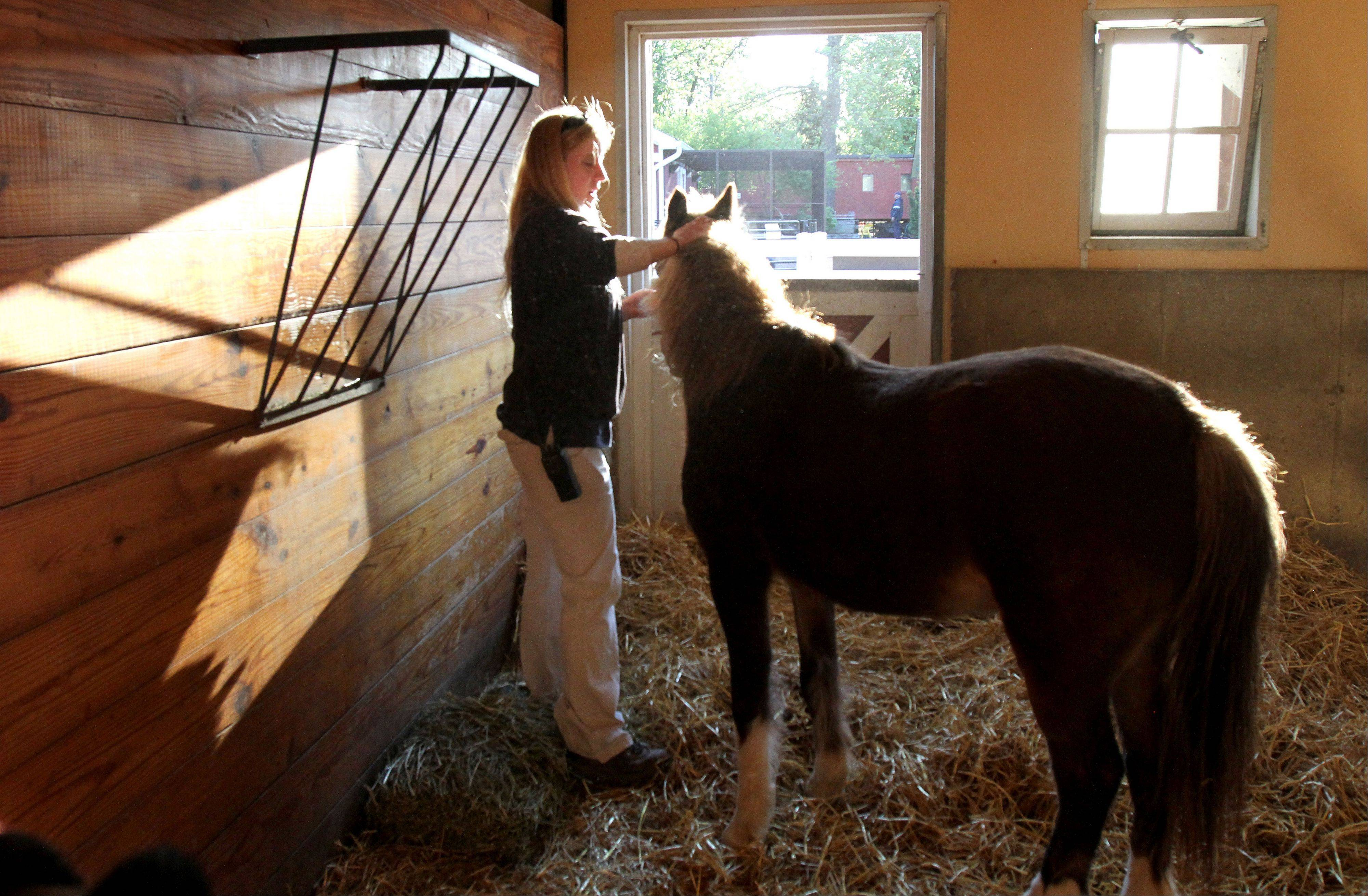 Caryn Lowe, zookeeper at Cosley Zoo in Wheaton, grooms Pro, a Shetland pony as she gets him ready for the day.