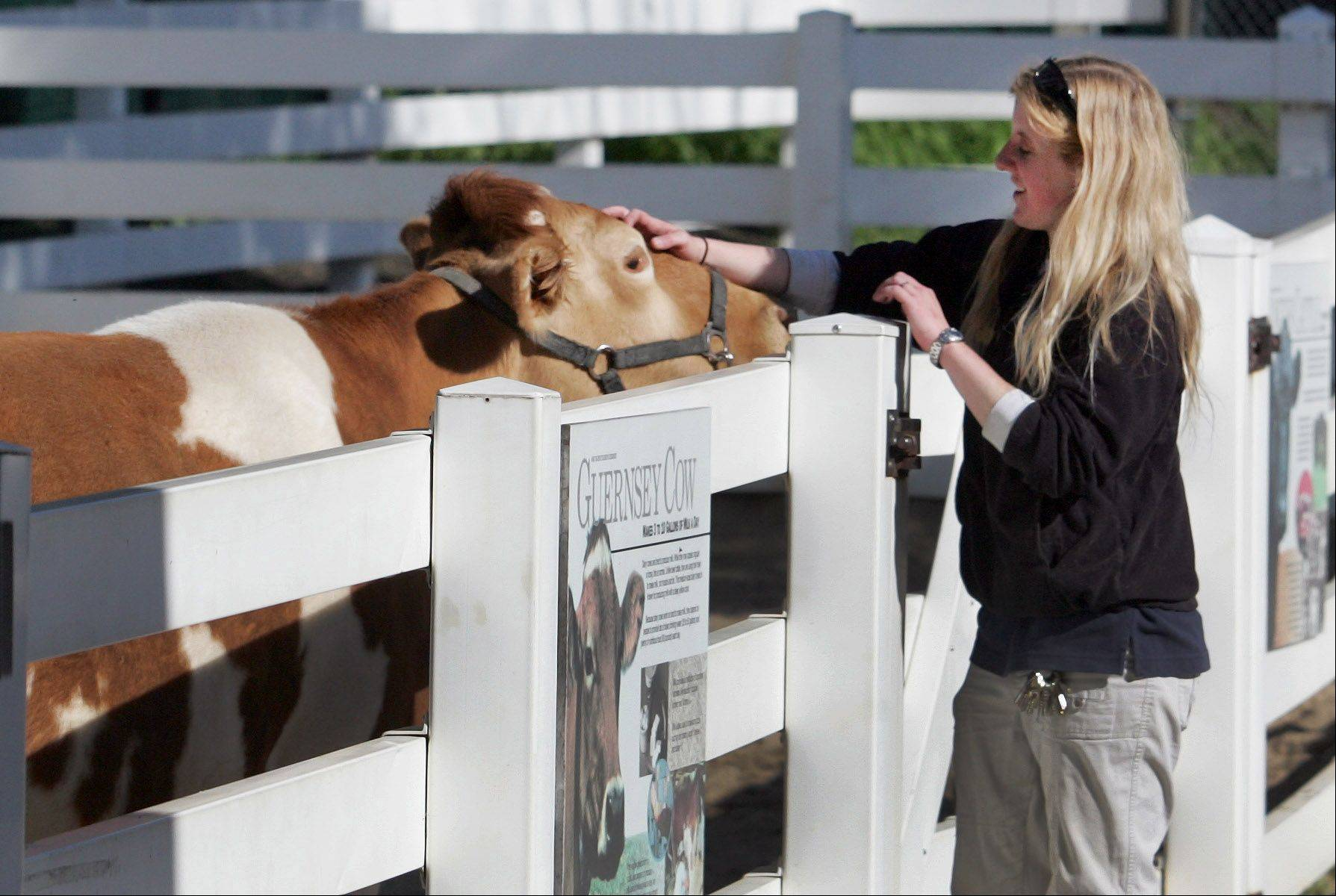 Lowe checks on a Guernsey cow, one of the newer animals to the zoo.