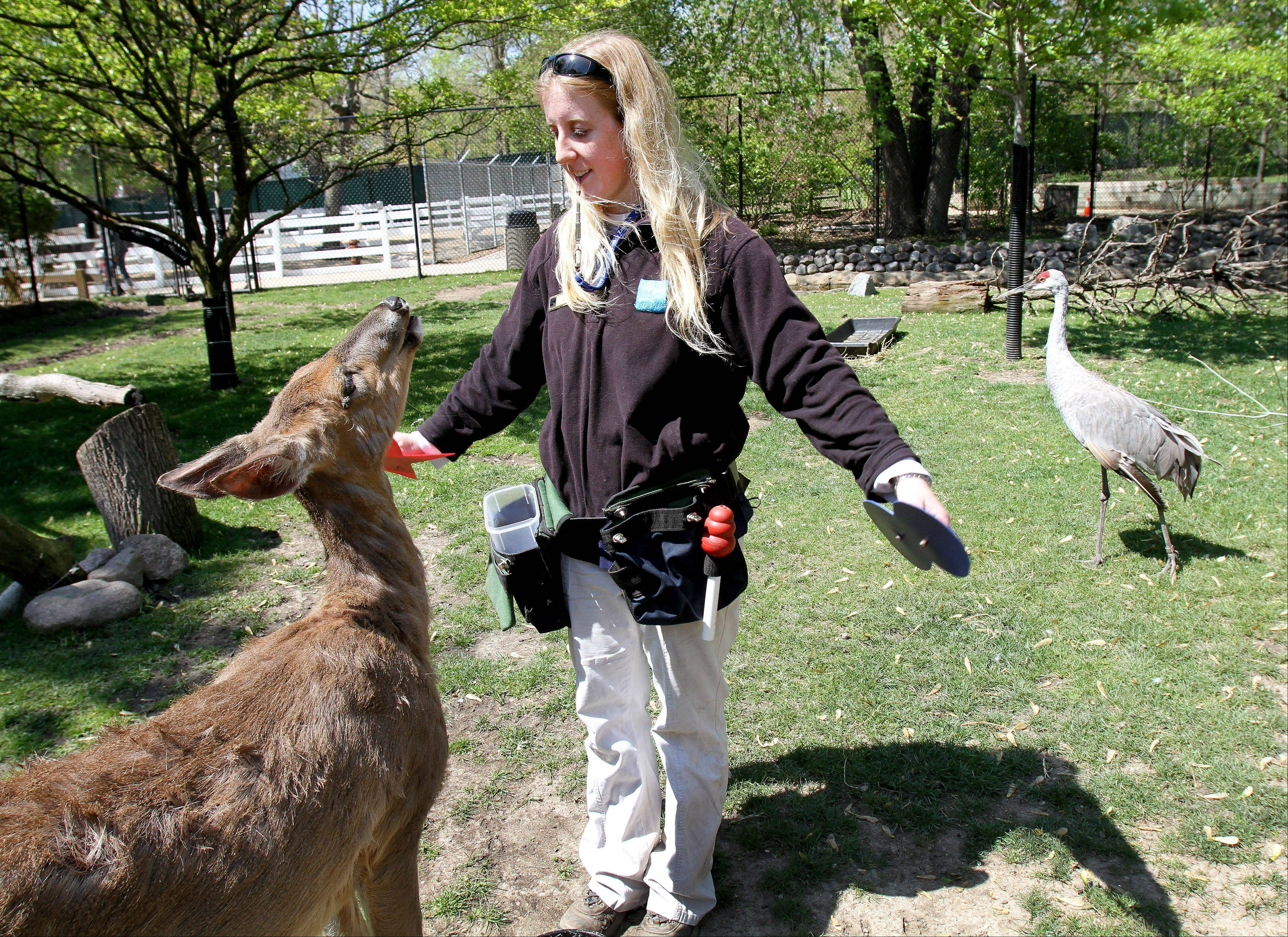 Zookeeper Caryn Lowe is the primary trainer for the white-tailed deer named Stella.