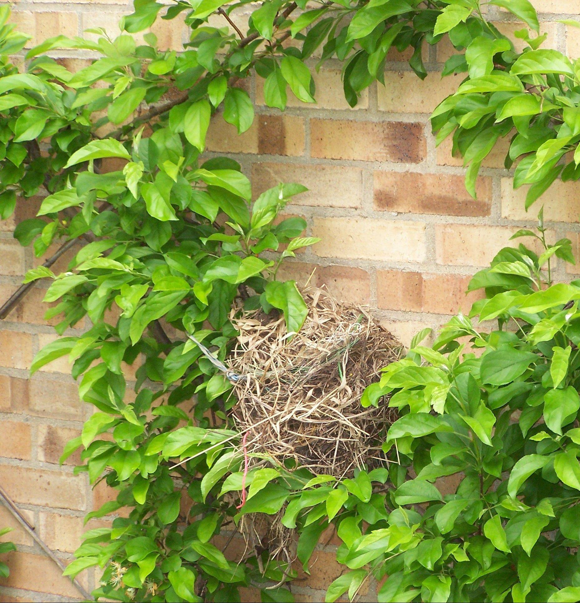 To make a home in your garden, birds need a place to use as shelter. Vines create spots for nesting in gardens.
