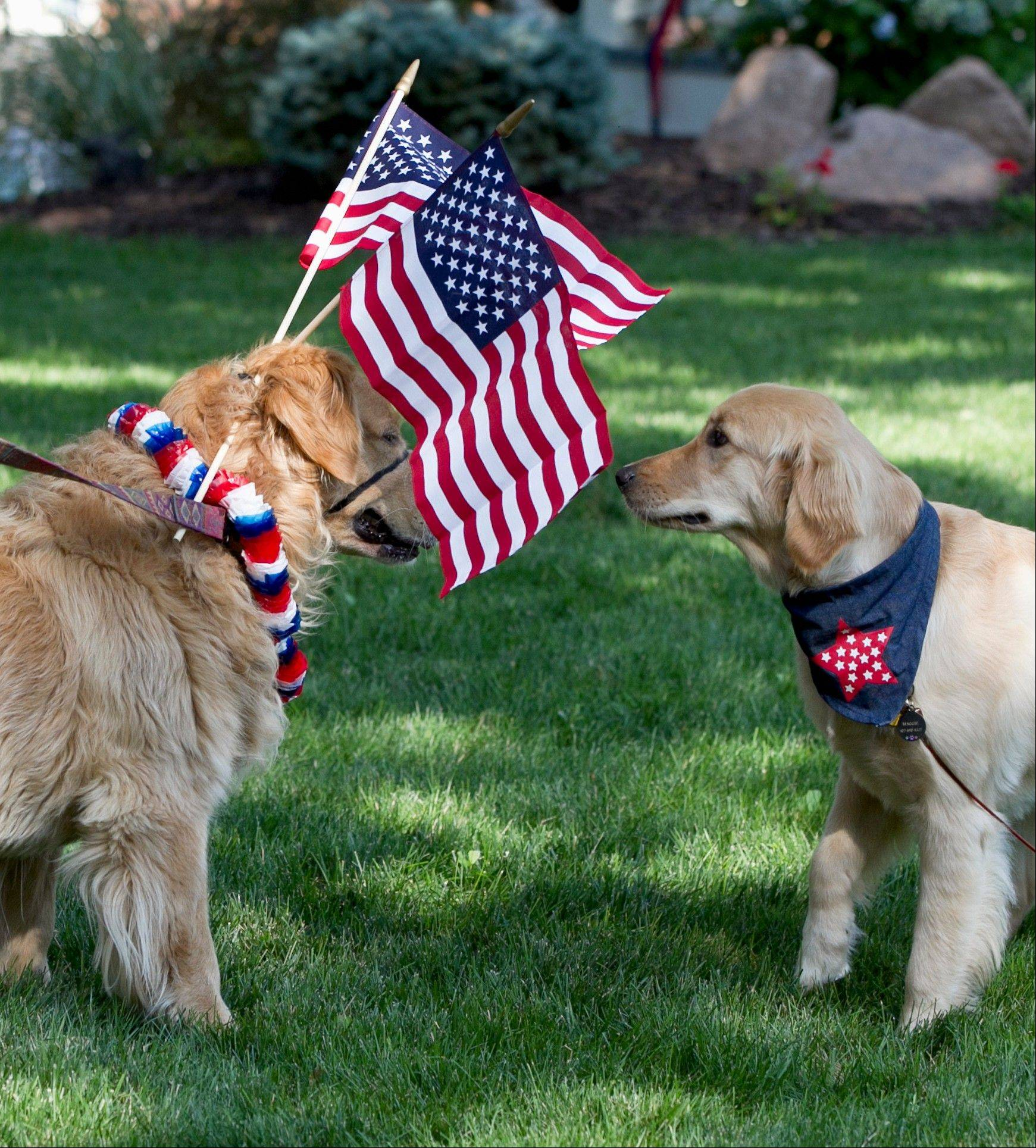 Rommel, a five-year-old golden retriever, left, is decked out with flags as he meets another golden retriever with a patriotic neck band before a Fourth of July parade in Omaha, Neb., Wednesday, July 4, 2012.