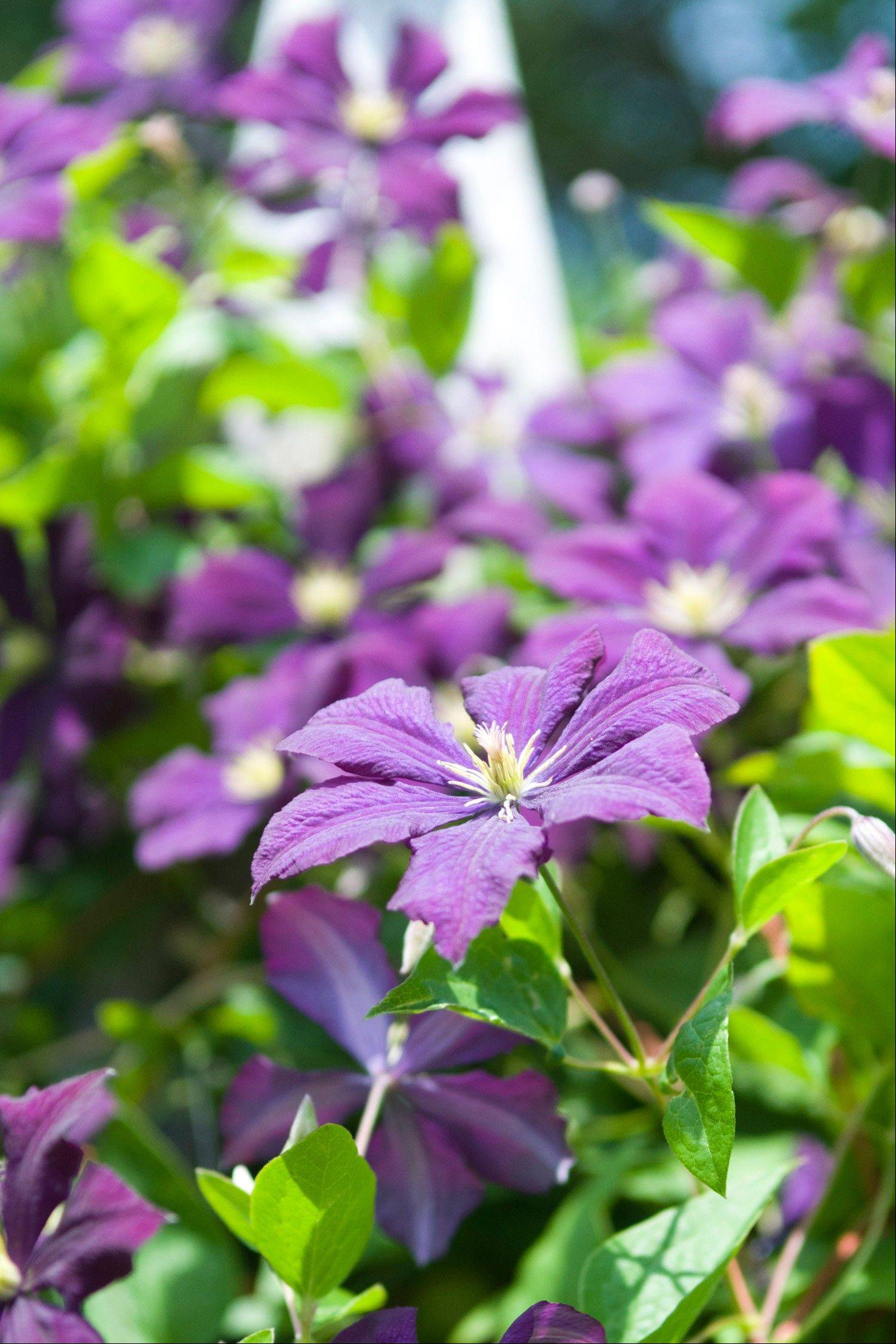 Vines such as clematis should be trained to their supports on a regular basis.
