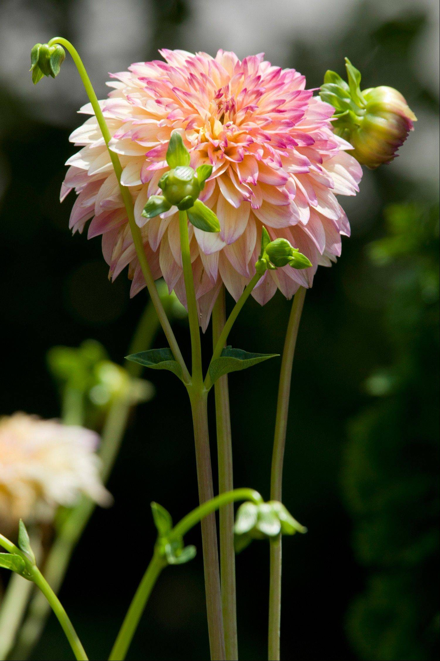 To maximize the size of your dahlia flowers, keep only the top flower on a stem and remove all side shoots.