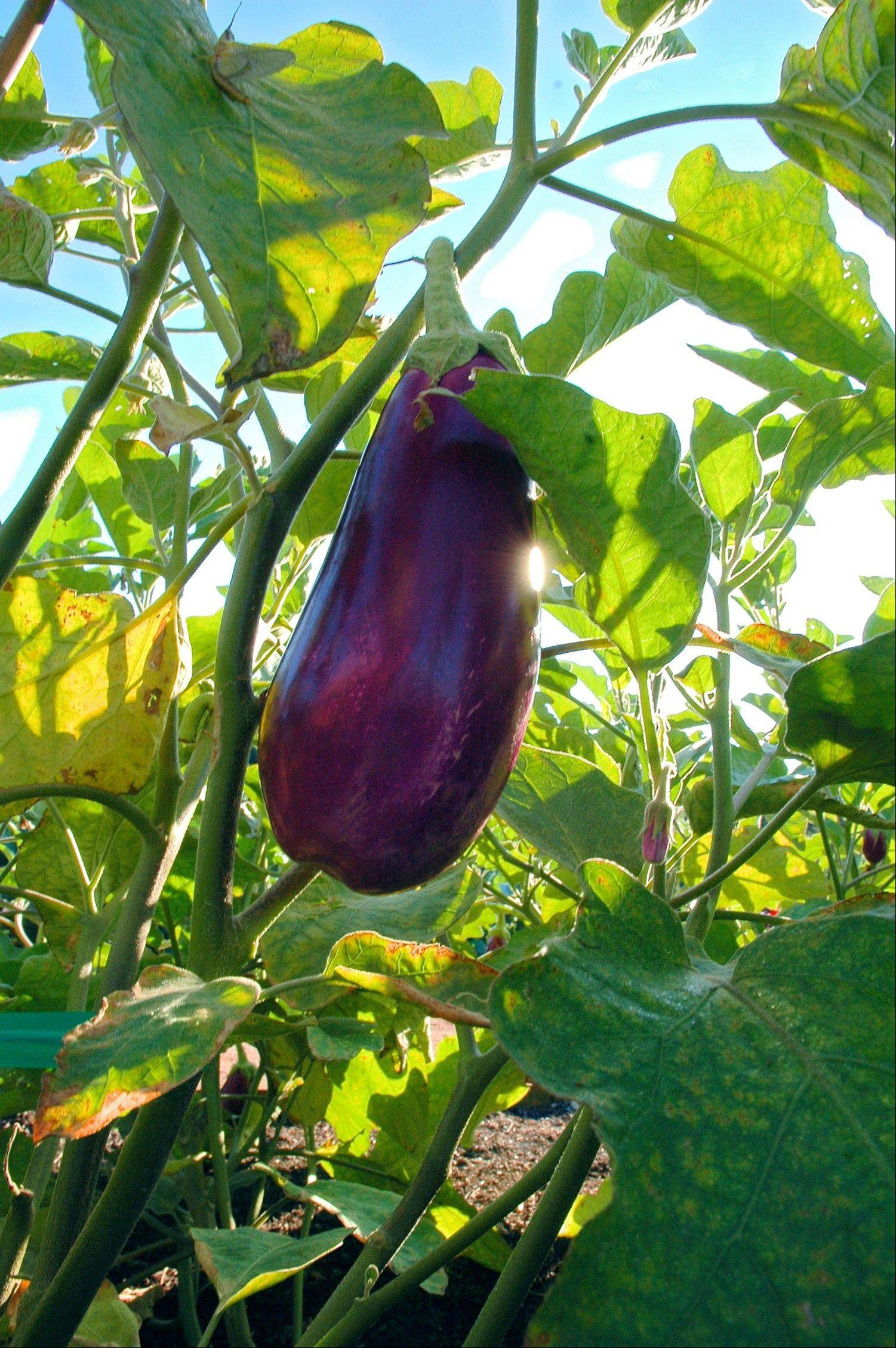 Vegetables that can be damaged easily, like eggplant, should be cut from the vine, rather than pulled.