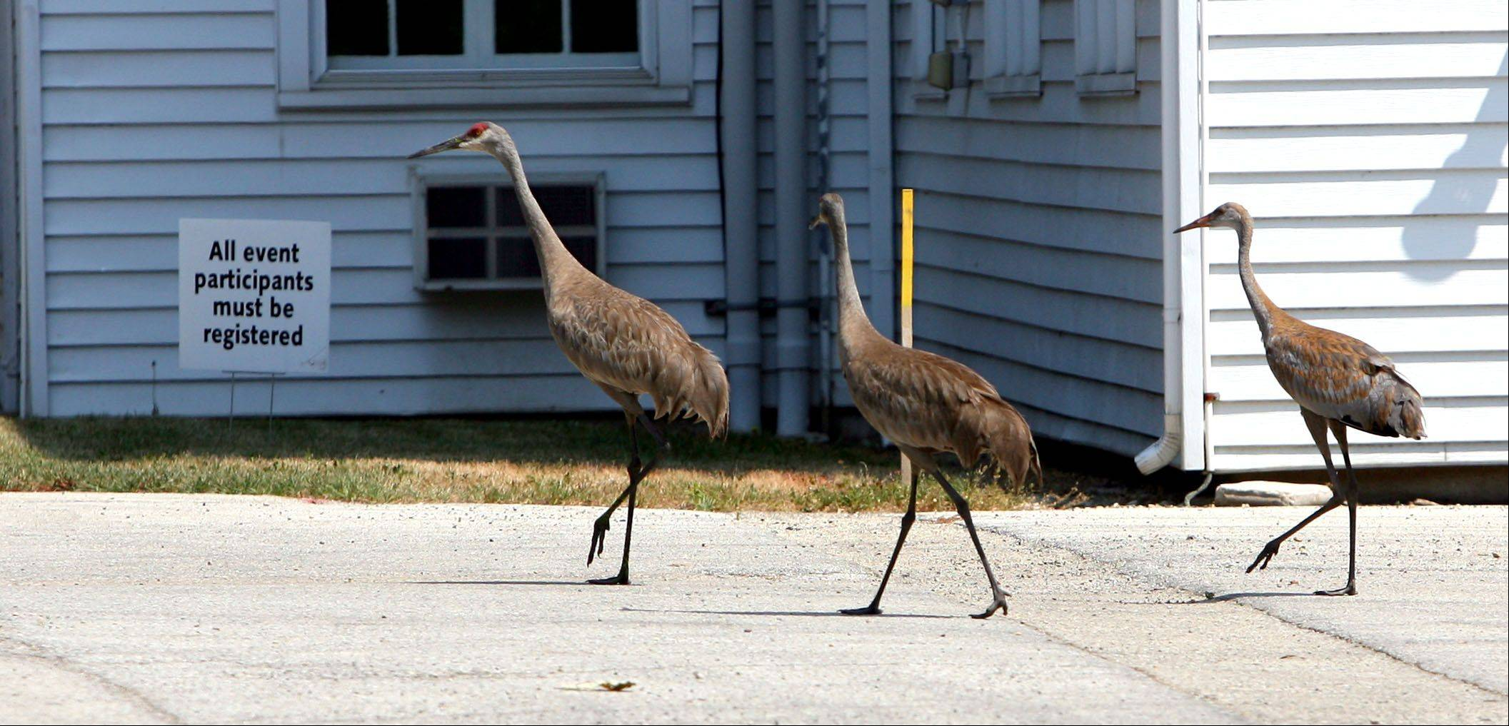 A group of Sandhill Cranes wander through the grounds of Lakewood Forest Preserve near Wauconda.