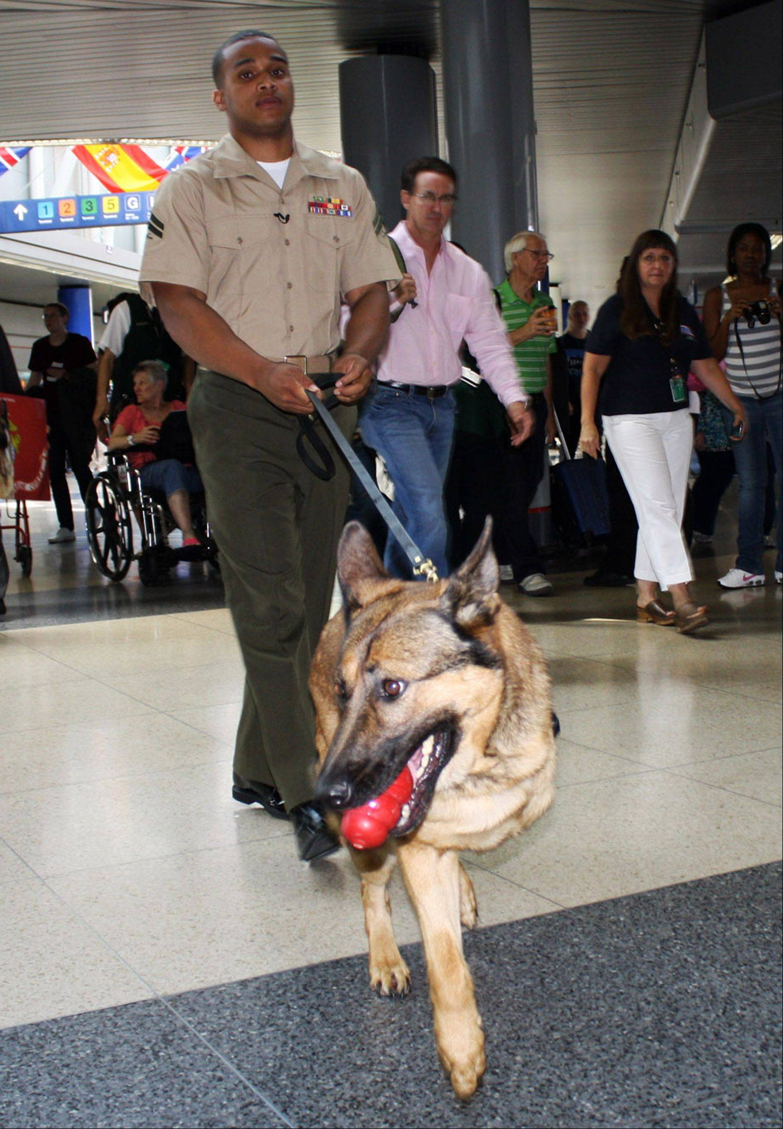 Marine Cpl. Juan Rodriguez walks Lucca through the American Airlines concourse at O'Hare International Airport on Thursday. The injured military dog is on her way to retirement in Finland.