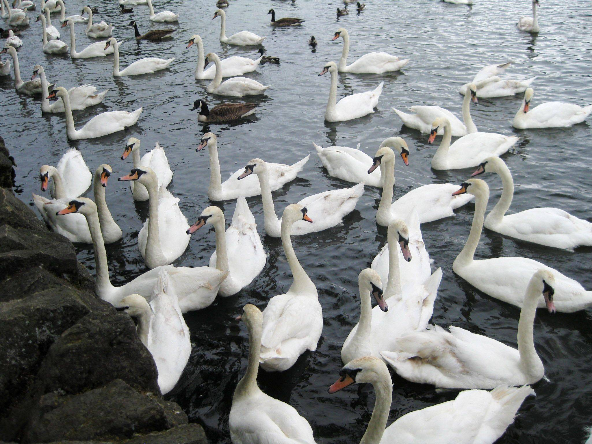 Swans gather in a pond near Windsor Castle in London.