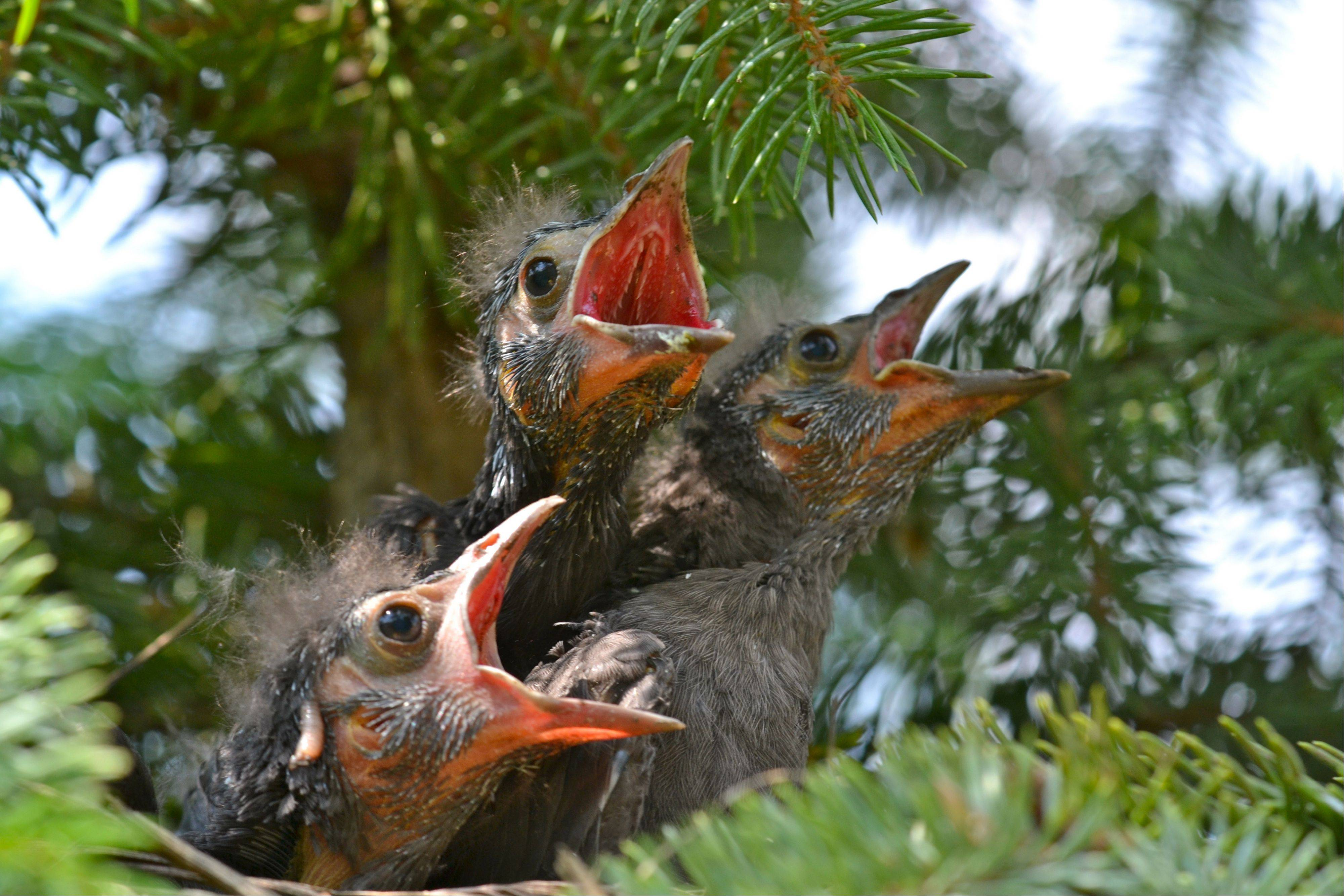 This photo was taken in my neighbors yard. She recently had landscaping done that included new trees. One of the trees that was planted in her yard came with a birds nest in it with baby birds living in it! I took this opportunity to get some photos of the baby birds.