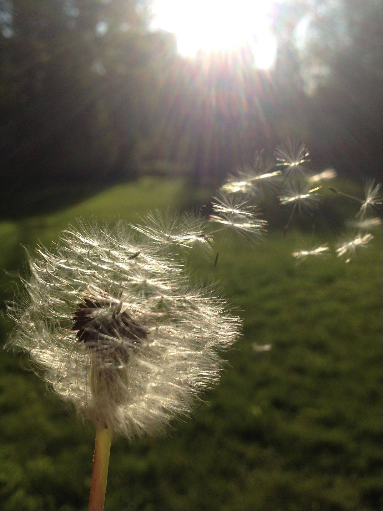 A dandelion blows in the wind near Cook Memorial Park in Libertyville.