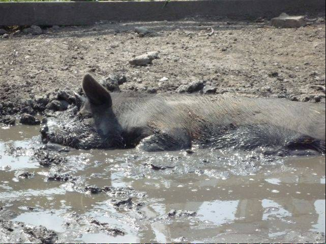 Happy as a pig in slop, this Berkshire sow at the Schaumburg Park District's Volkening Heritage Farm finds relief from the heat by wallowing in this mud pit.