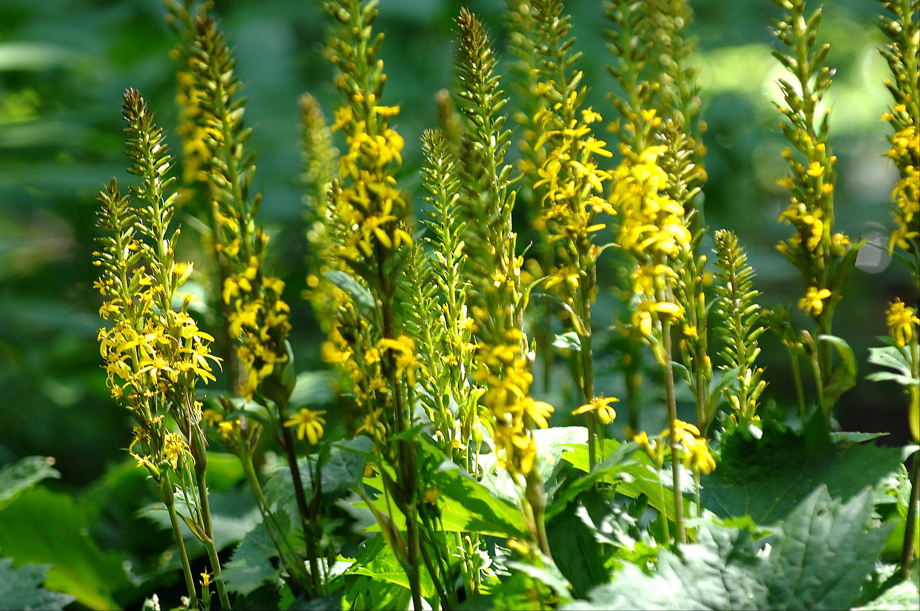 Ligularia Little Rocket glows in the woodland garden called Tranquility Trails.