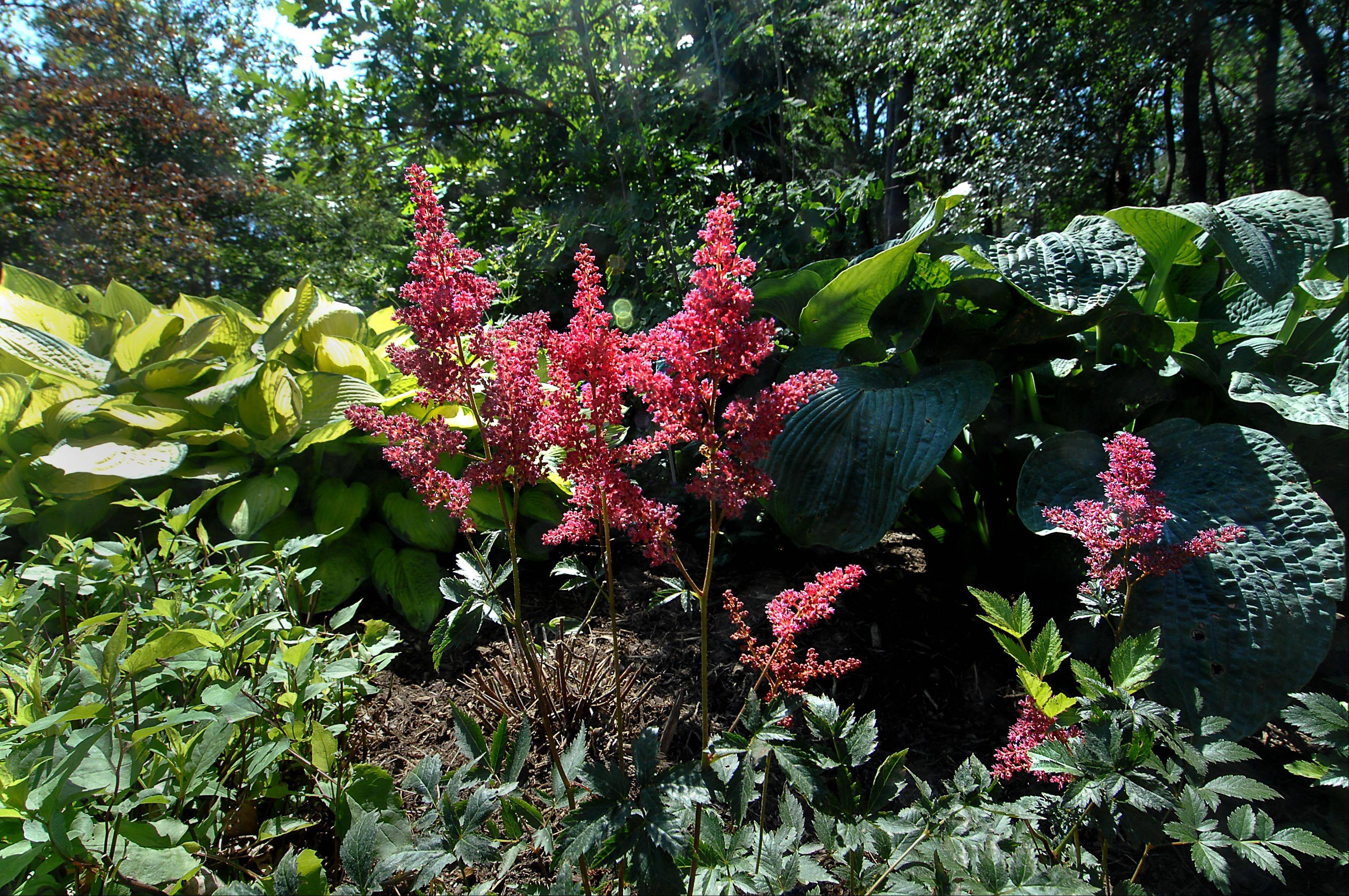 Astilbe Fanal and hostas are great in a woodland garden at Tranquility Trails.
